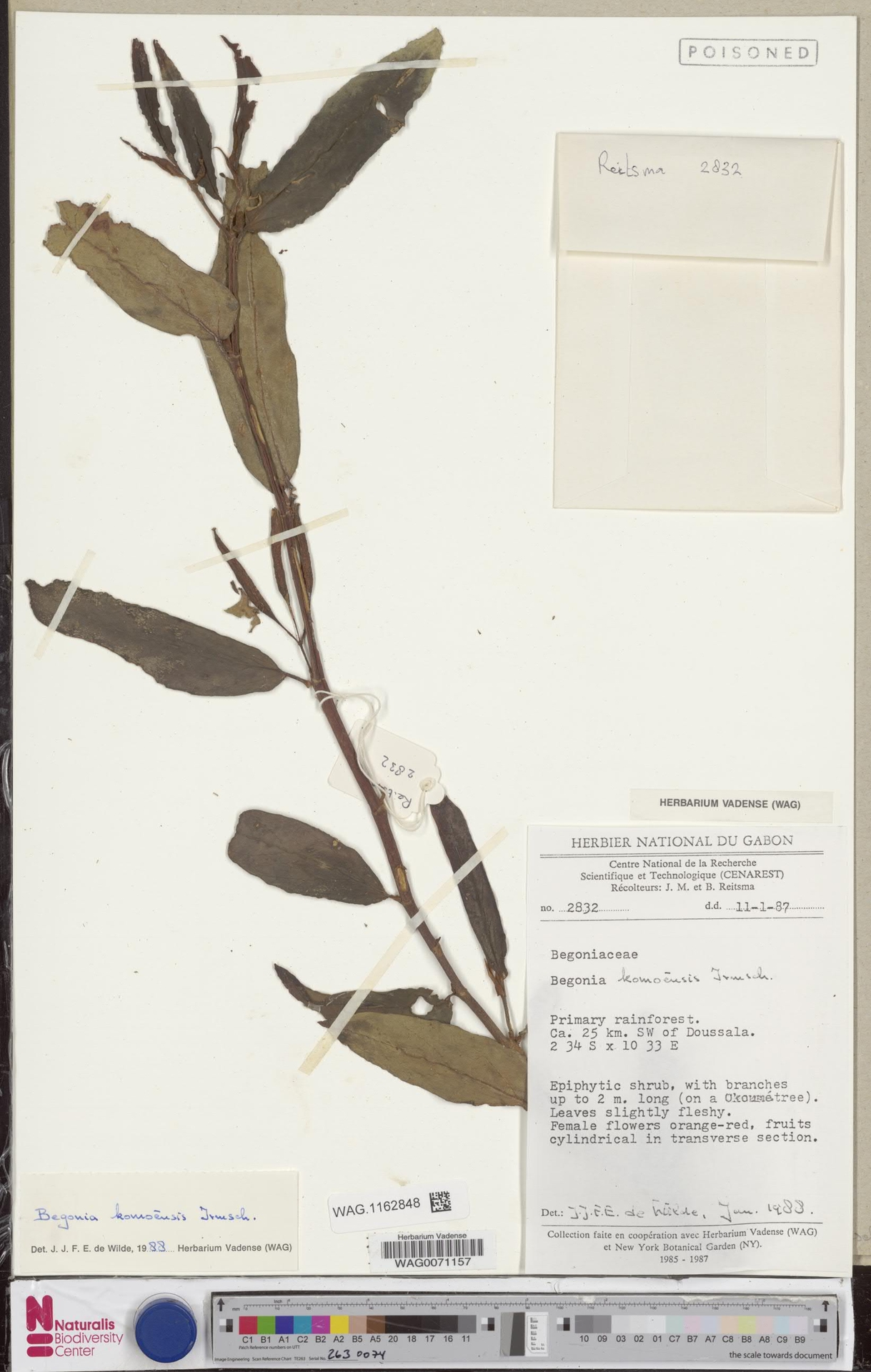WAG.1162848   Begonia komoensis Irmsch.