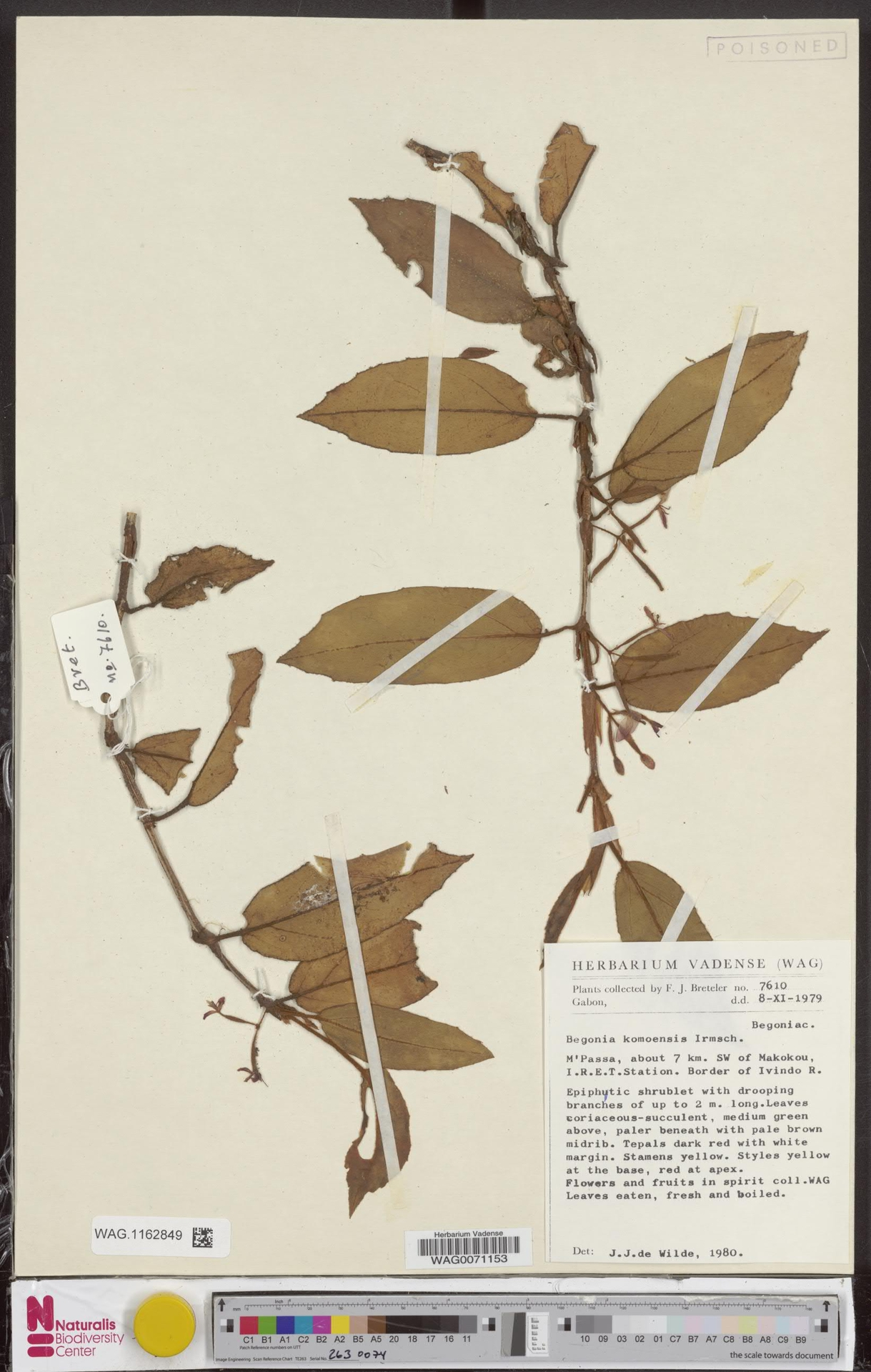 WAG.1162849 | Begonia komoensis Irmsch.