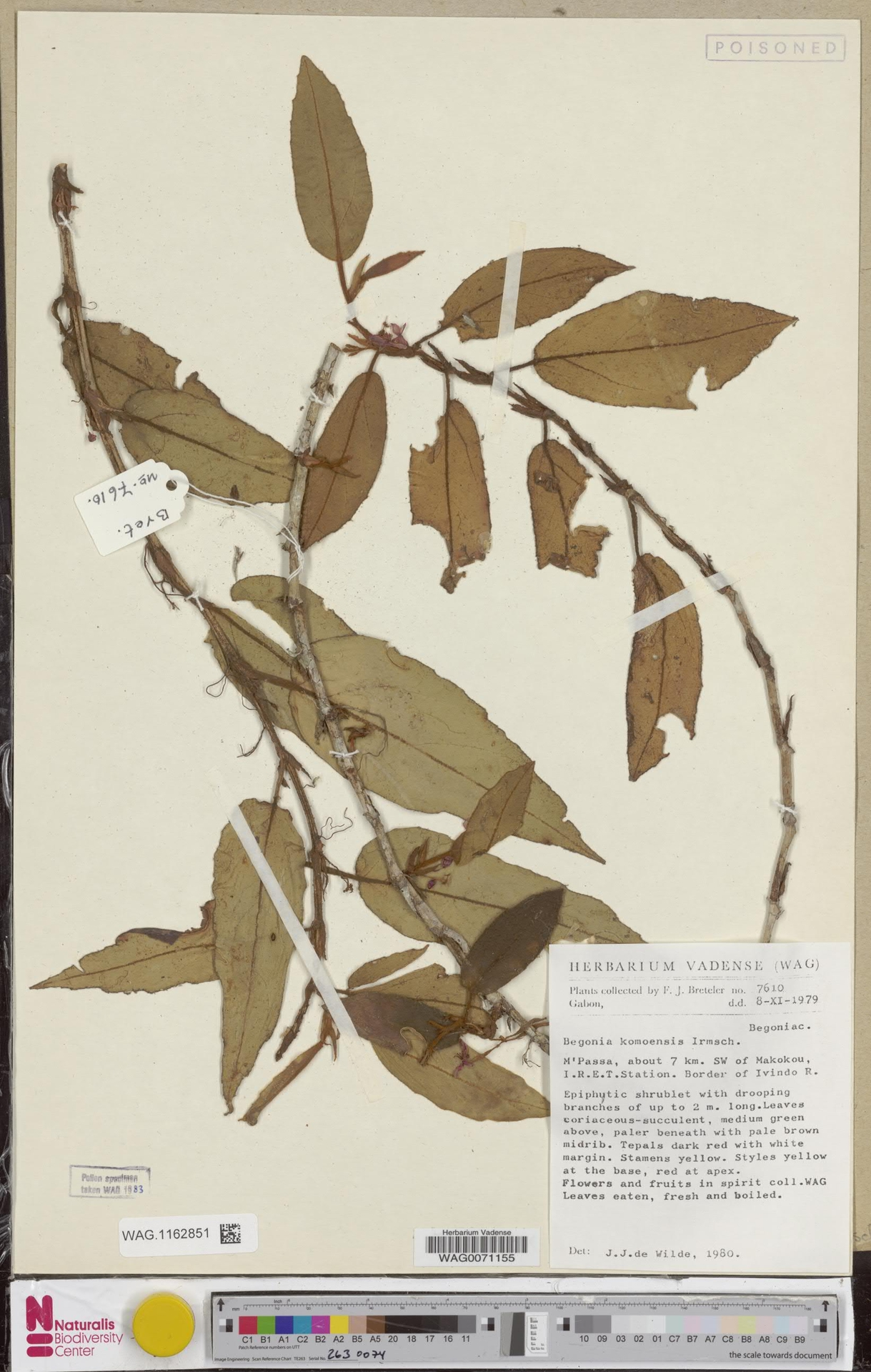 WAG.1162851 | Begonia komoensis Irmsch.
