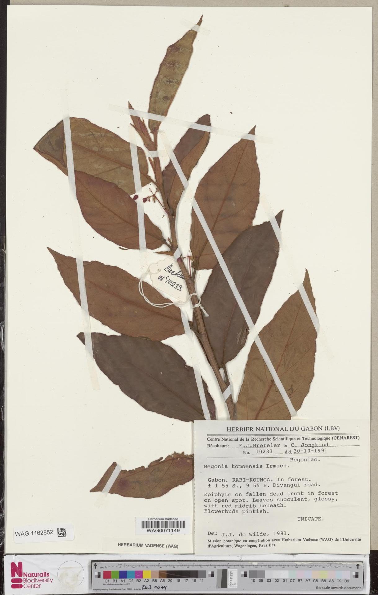 WAG.1162852 | Begonia komoensis Irmsch.