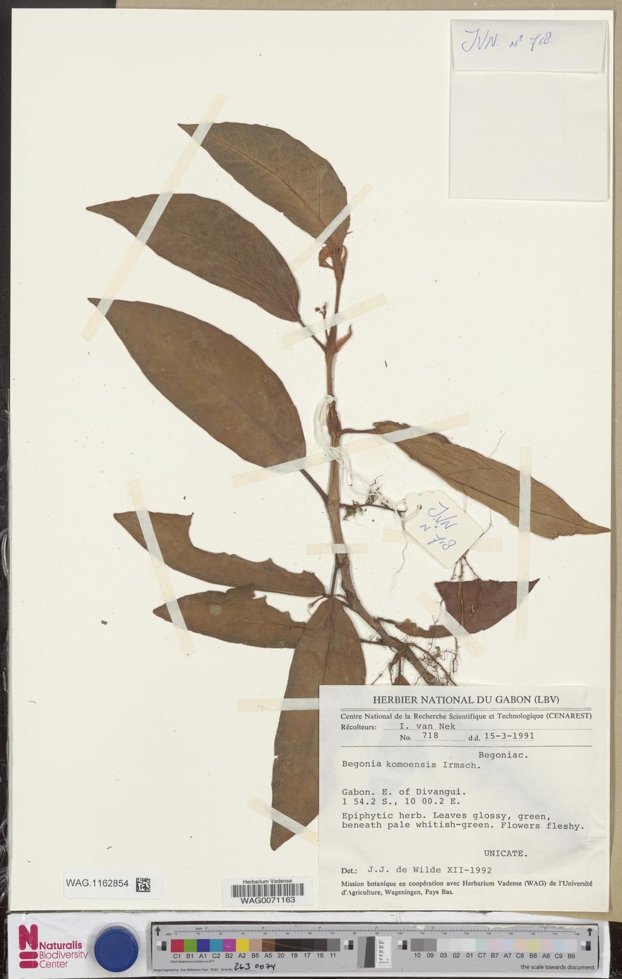 WAG.1162854 | Begonia komoensis Irmsch.