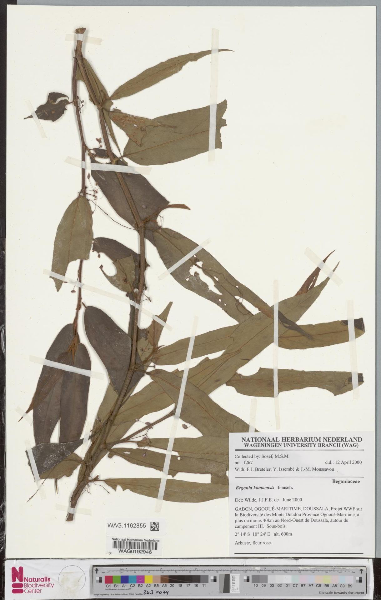 WAG.1162855 | Begonia komoensis Irmsch.