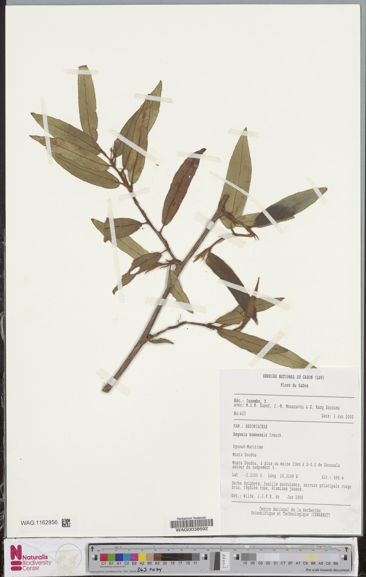 WAG.1162856 | Begonia komoensis Irmsch.