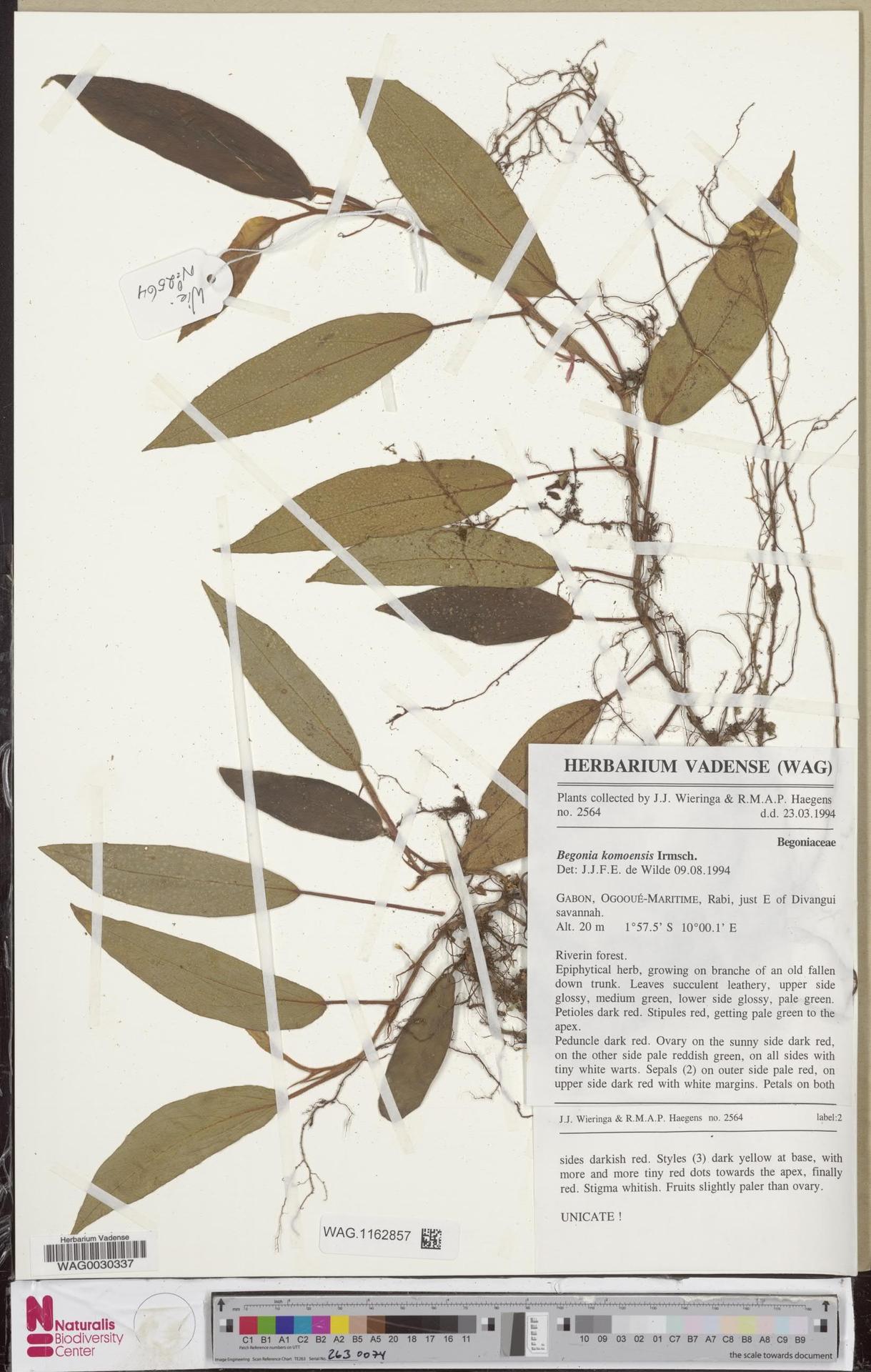 WAG.1162857 | Begonia komoensis Irmsch.