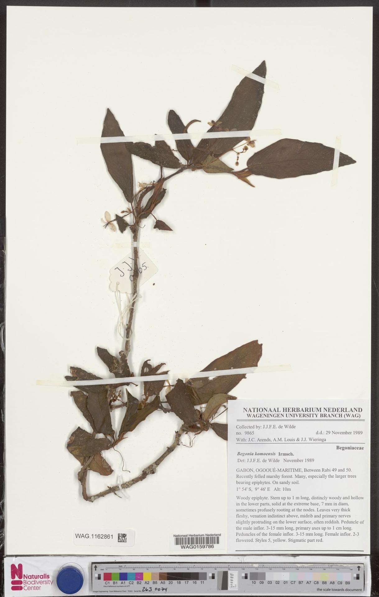 WAG.1162861 | Begonia komoensis Irmsch.