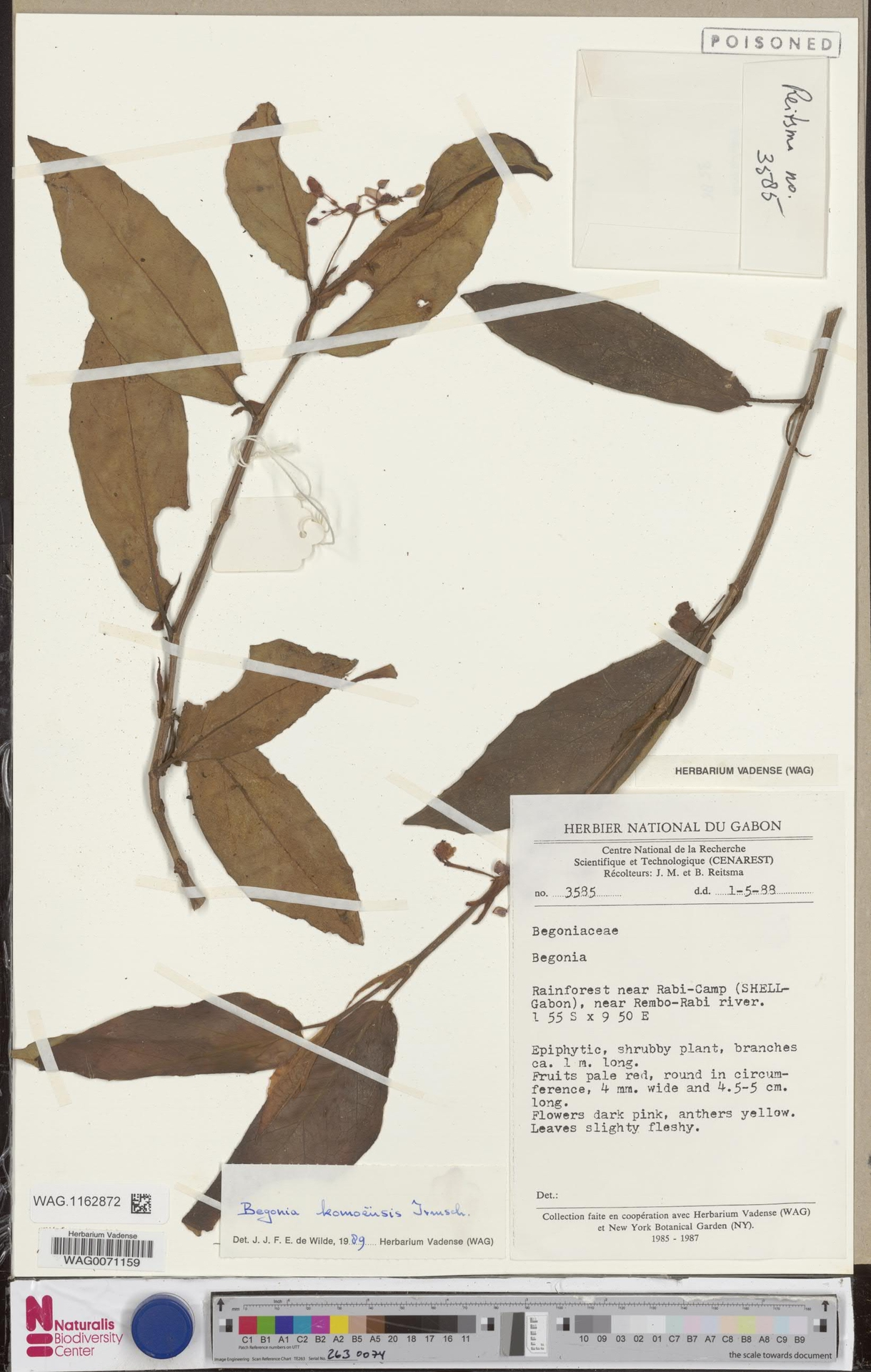 WAG.1162872 | Begonia komoensis Irmsch.