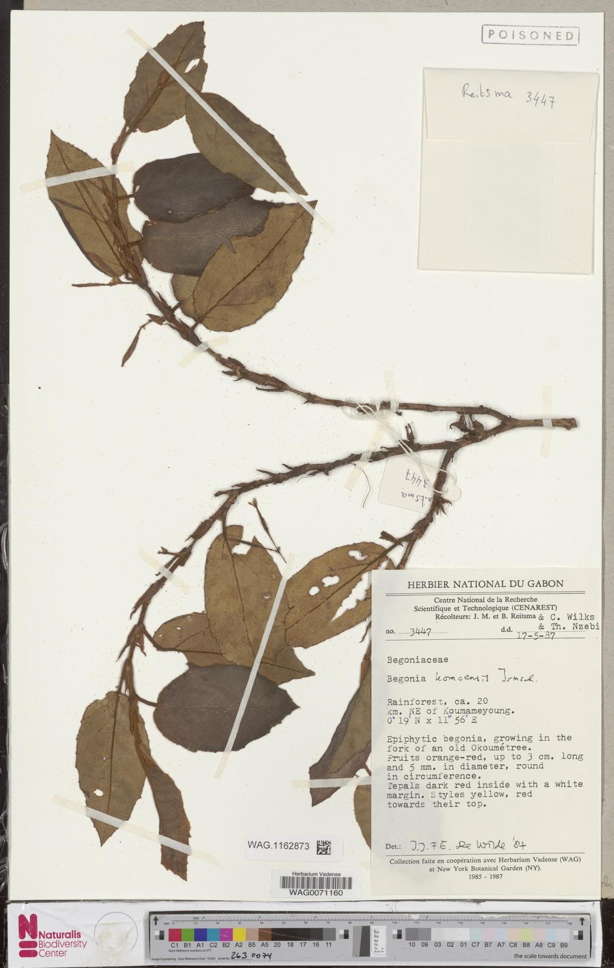 WAG.1162873 | Begonia komoensis Irmsch.
