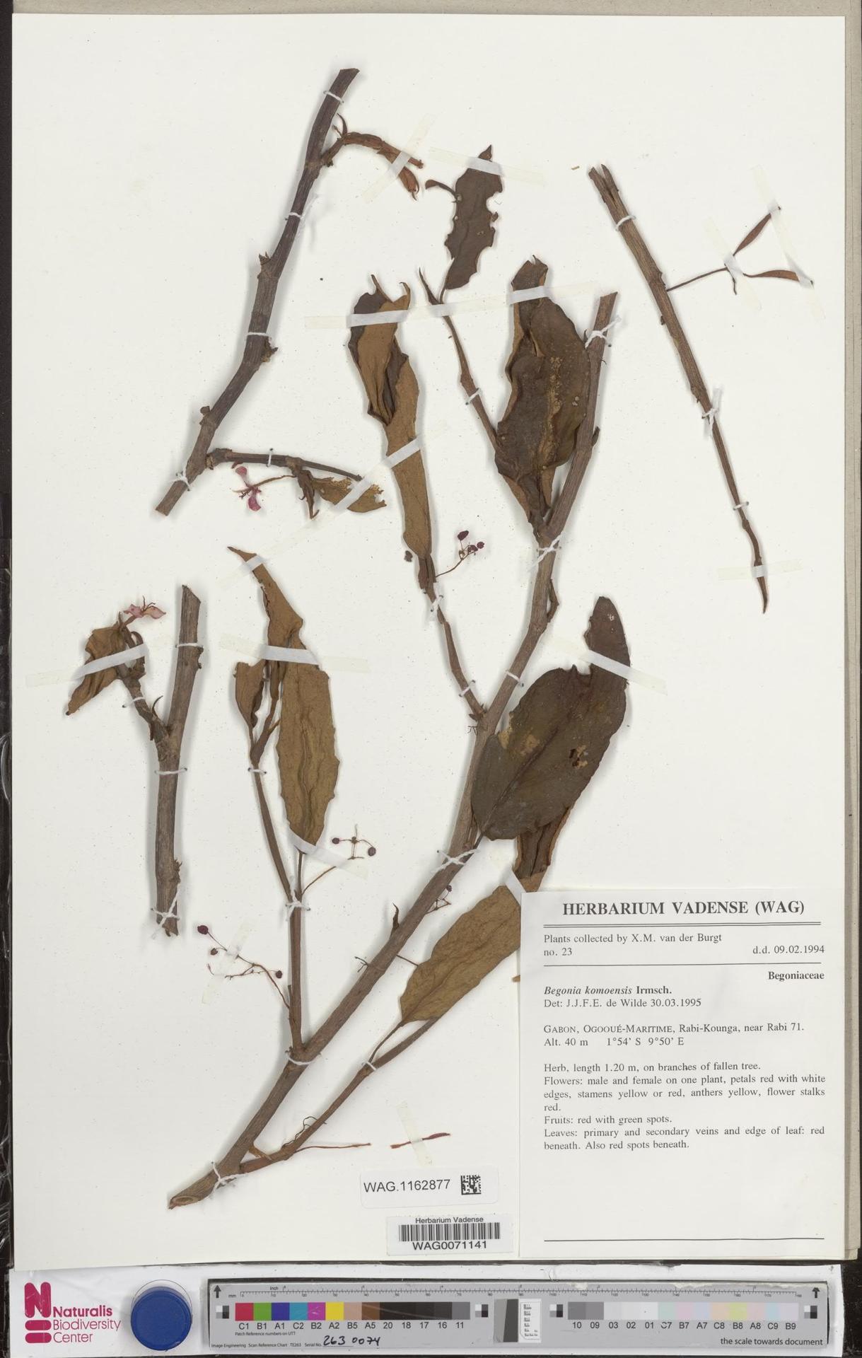 WAG.1162877 | Begonia komoensis Irmsch.