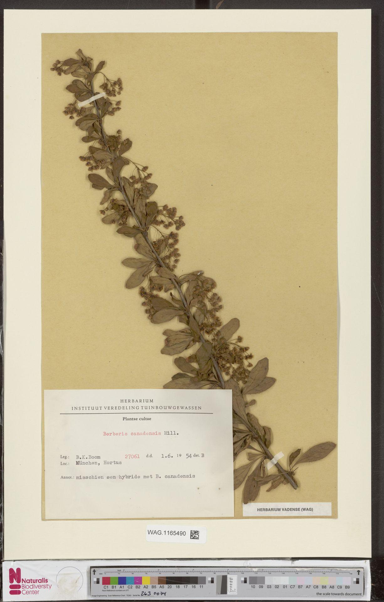 WAG.1165490 | Berberis vulgaris L.
