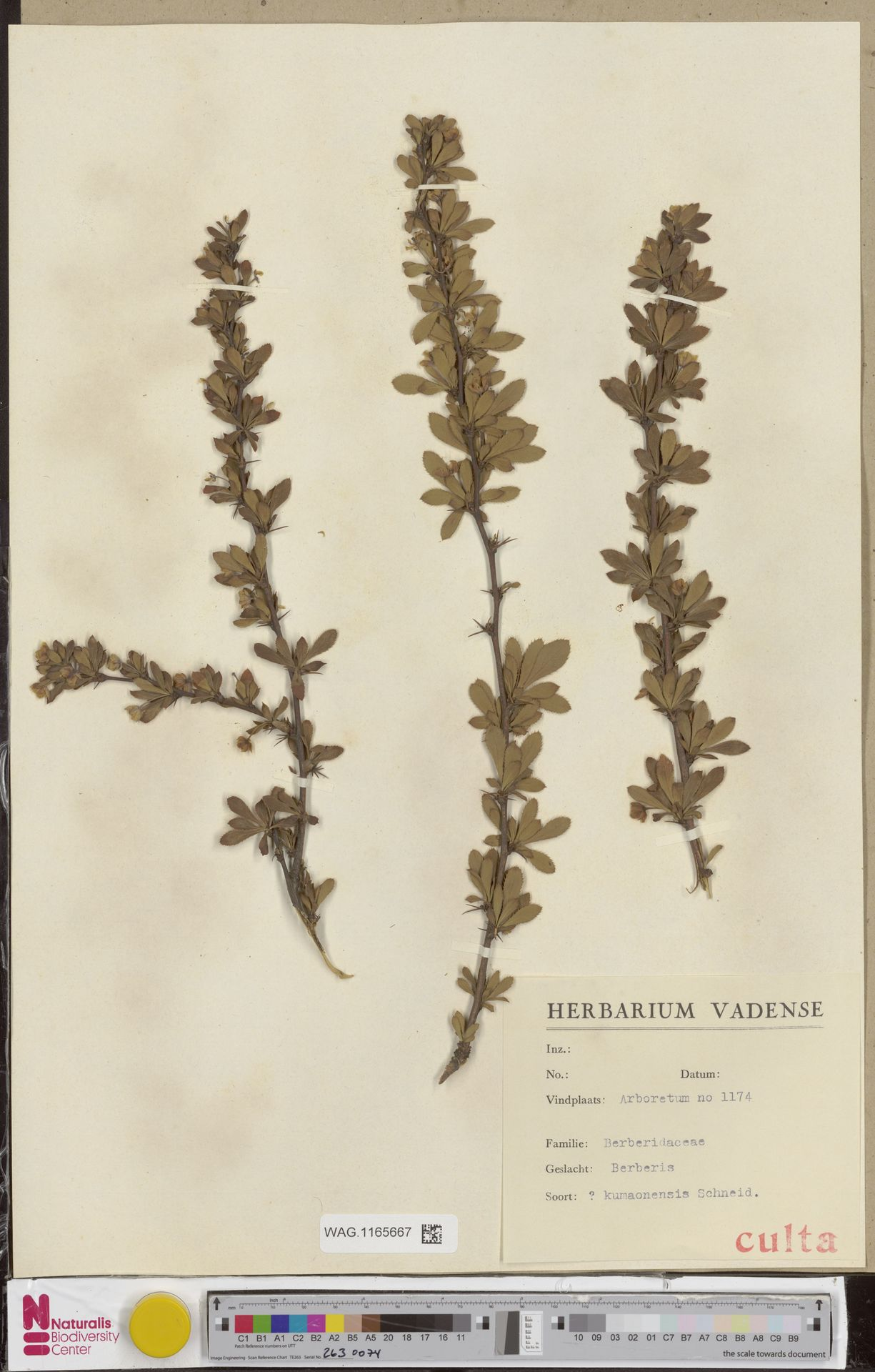 WAG.1165667 | Berberis kumaonensis C.K.Schneid.