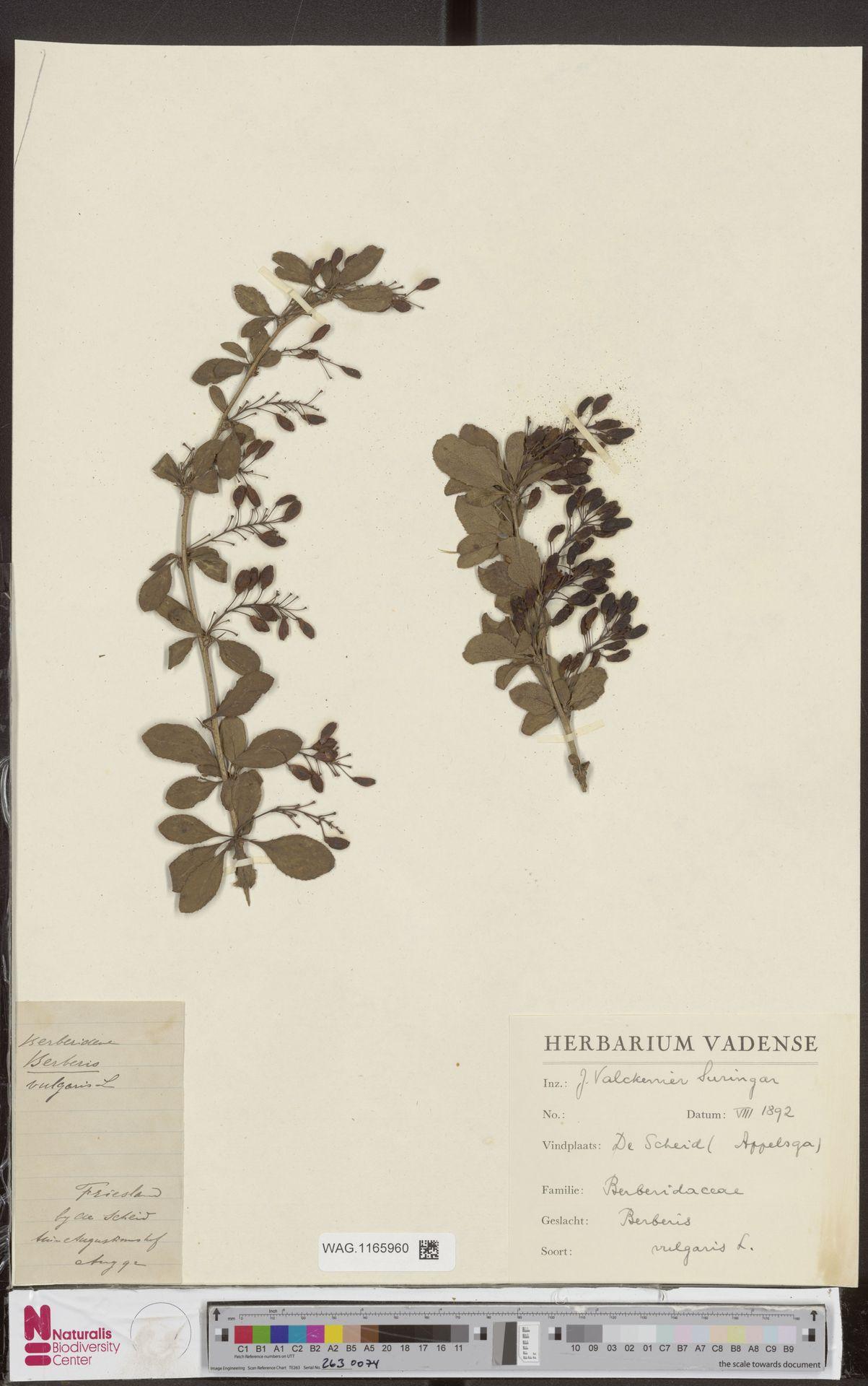 WAG.1165960 | Berberis vulgaris L.
