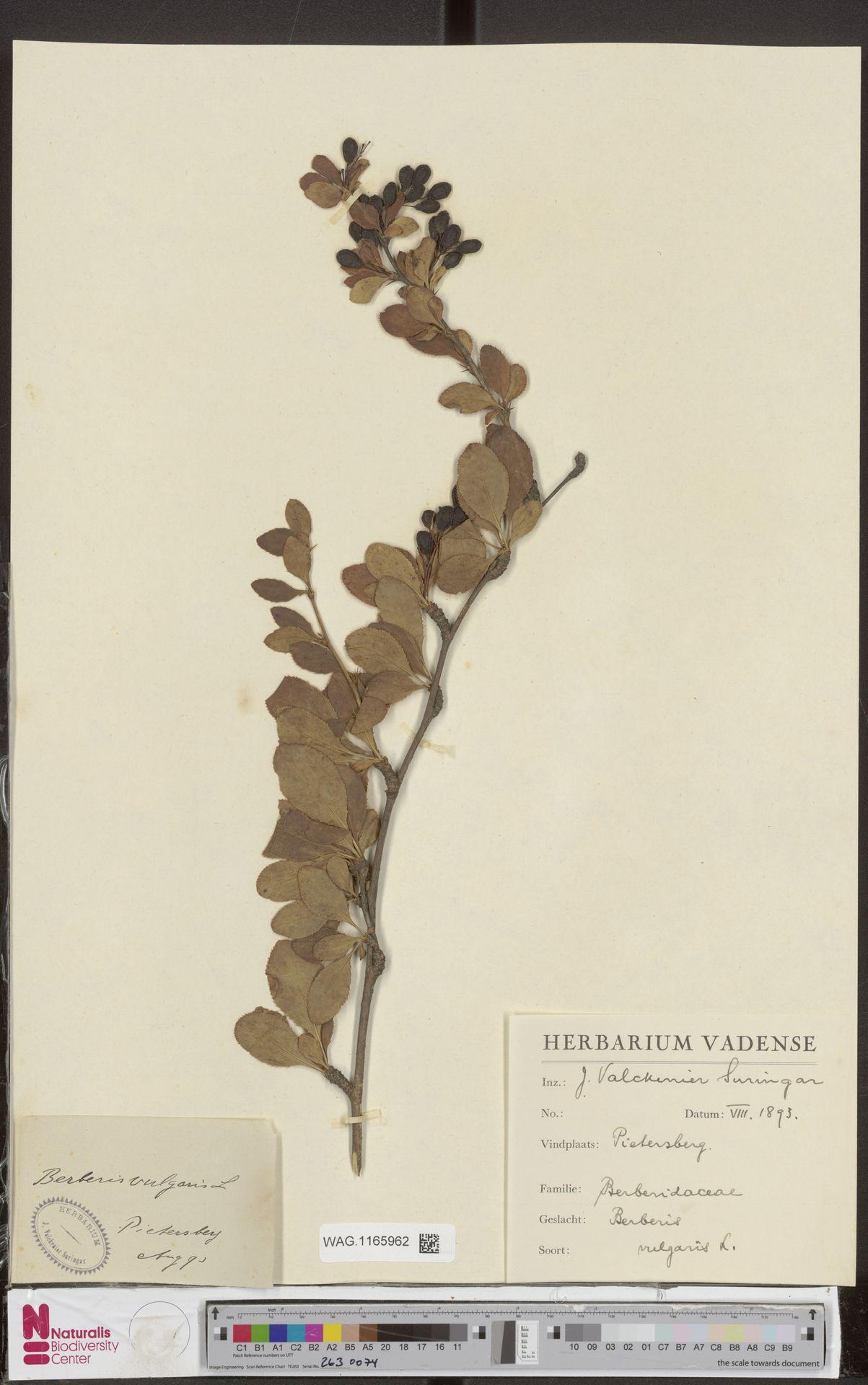 WAG.1165962 | Berberis vulgaris L.