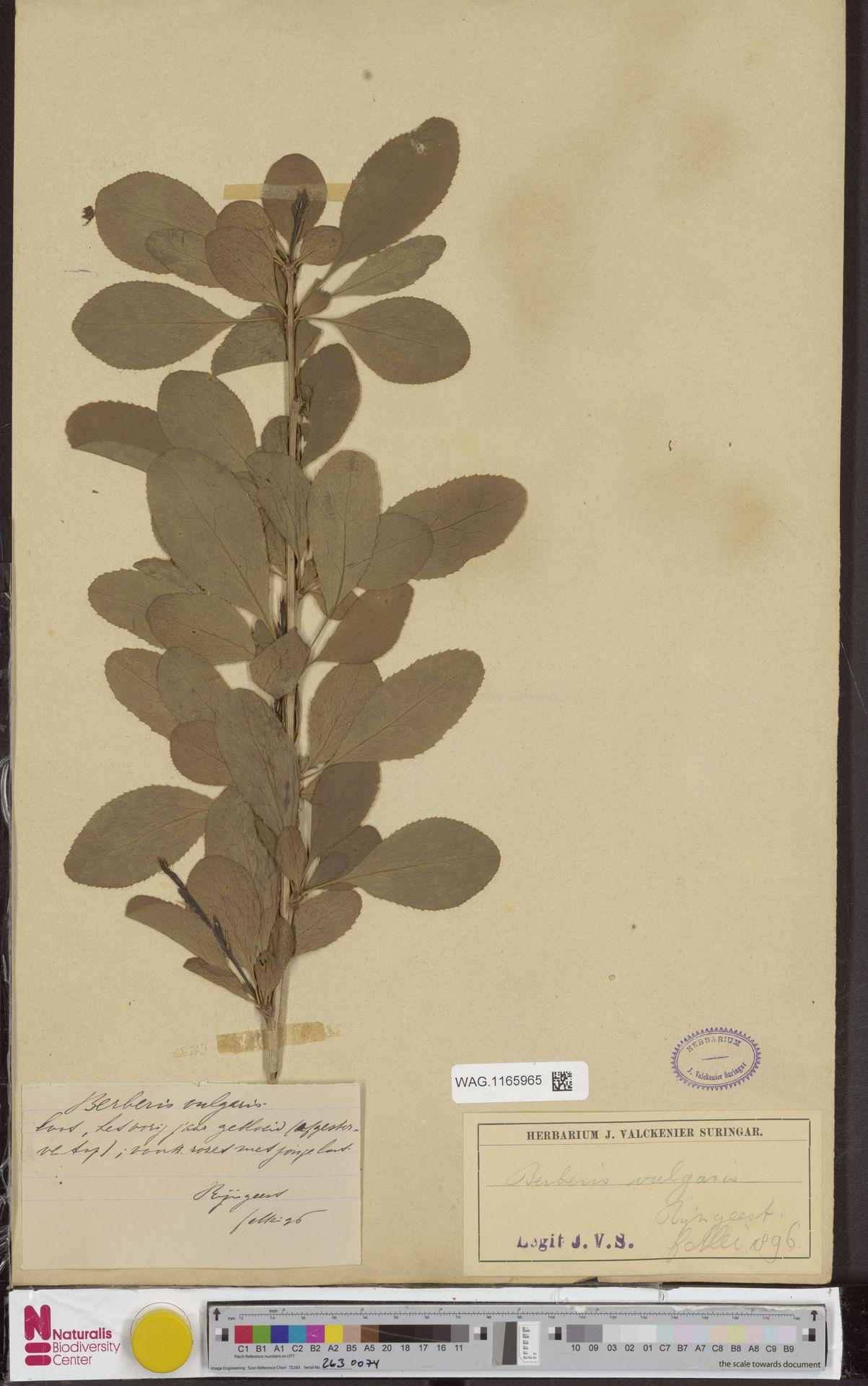 WAG.1165965 | Berberis vulgaris L.