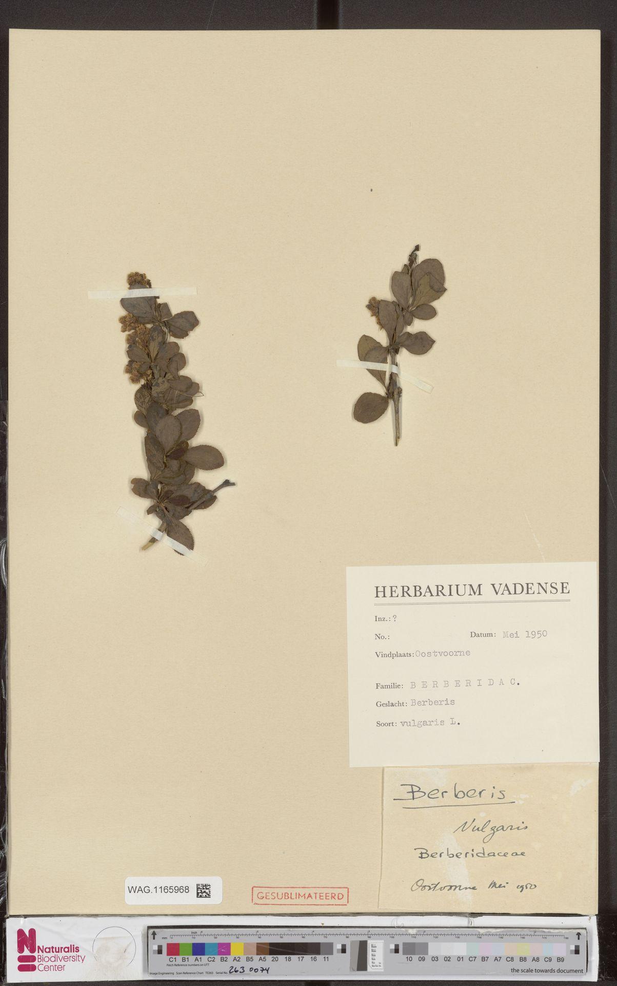 WAG.1165968 | Berberis vulgaris L.