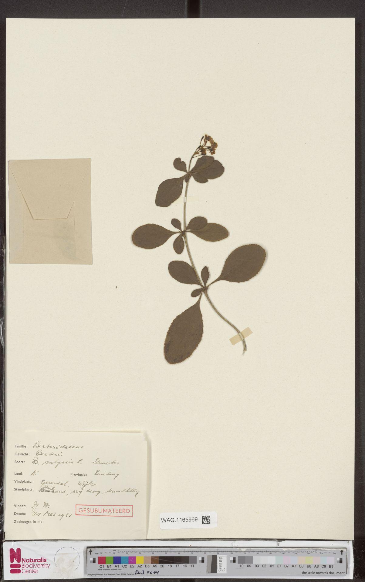 WAG.1165969 | Berberis vulgaris L.