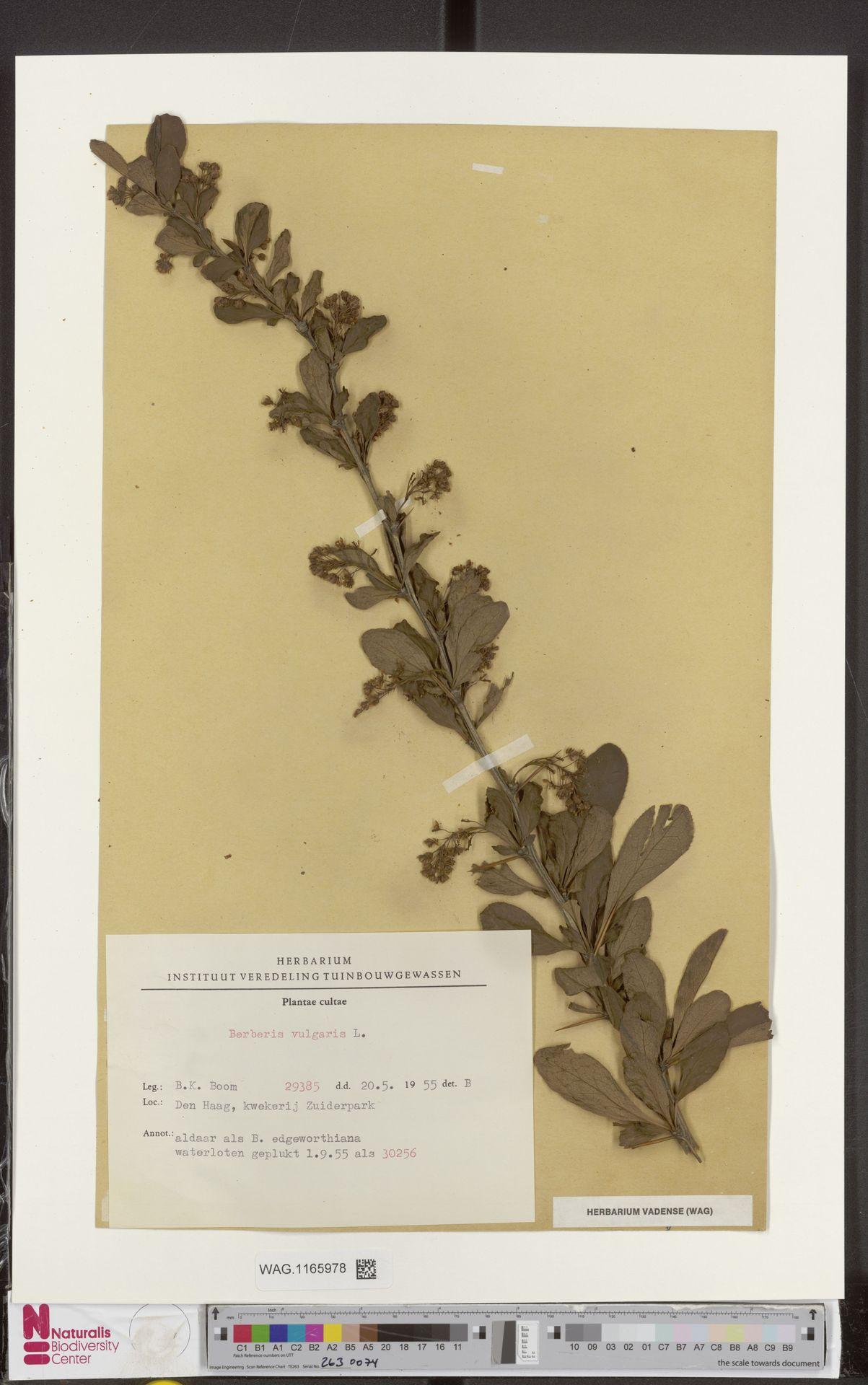 WAG.1165978 | Berberis vulgaris L.