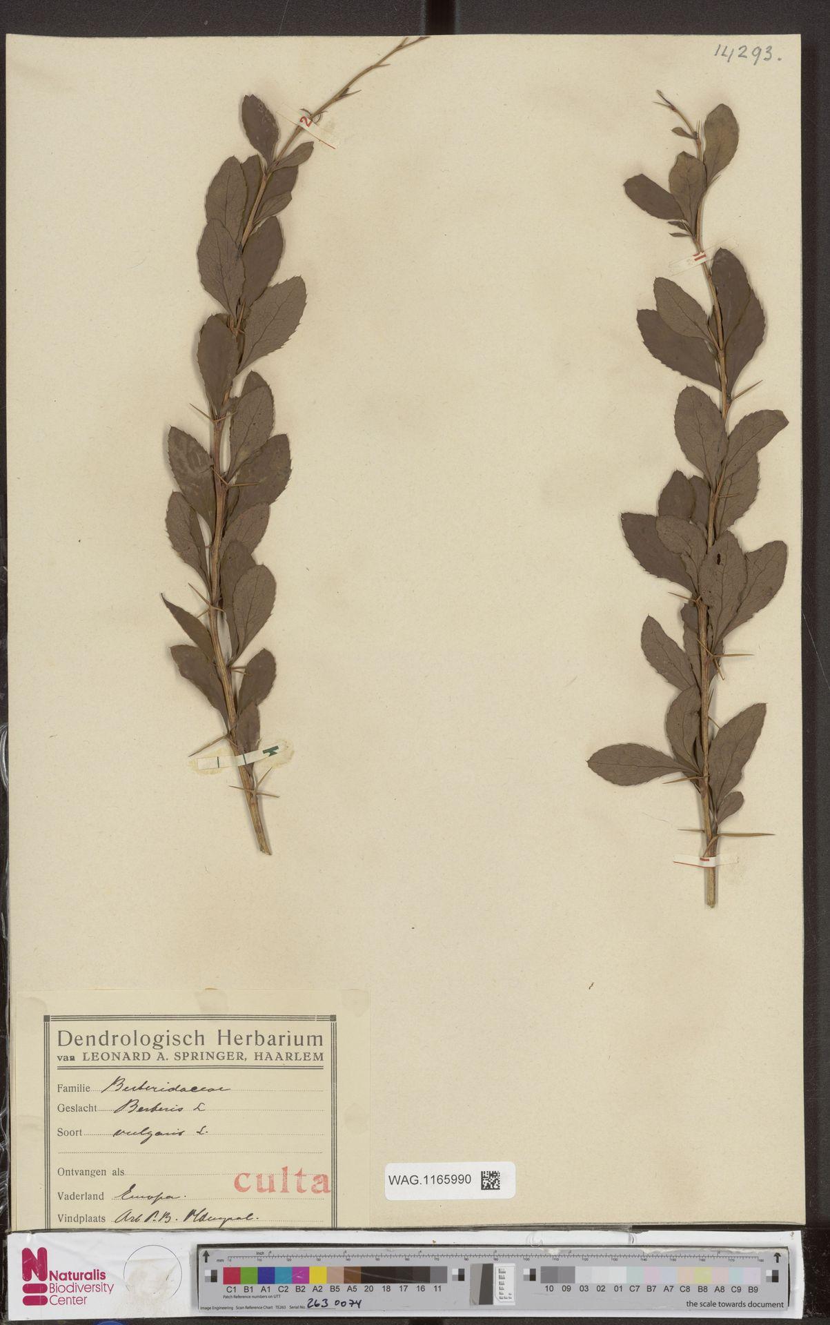 WAG.1165990   Berberis vulgaris L.