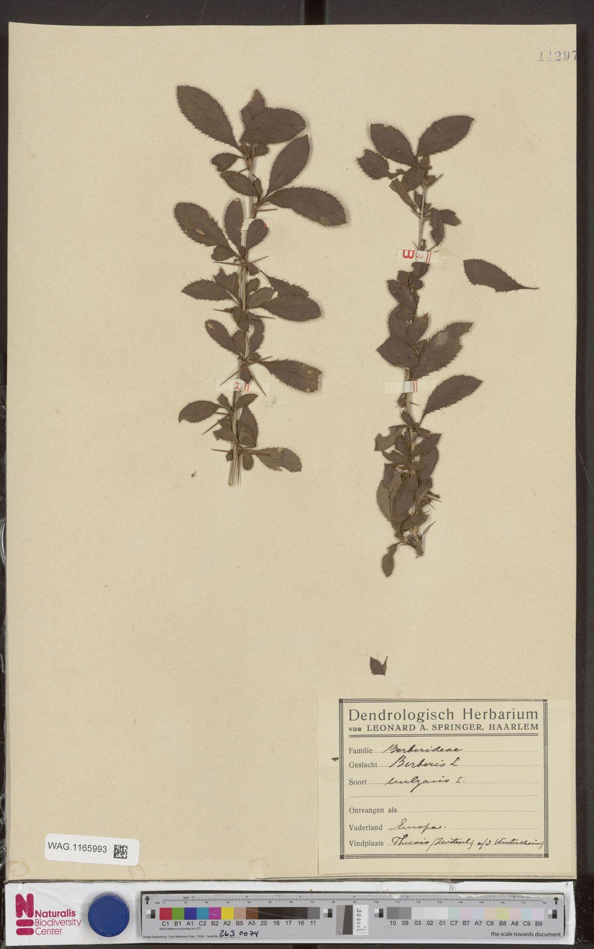 WAG.1165993 | Berberis vulgaris L.