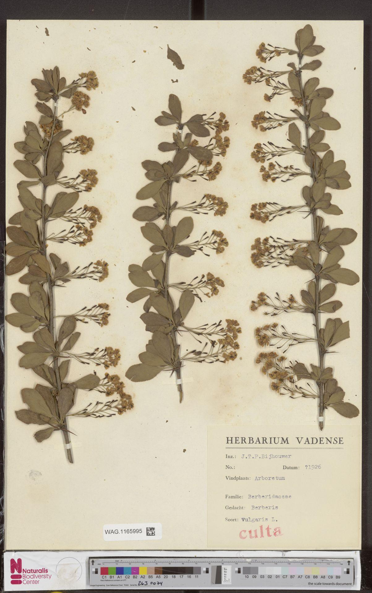 WAG.1165995 | Berberis vulgaris L.