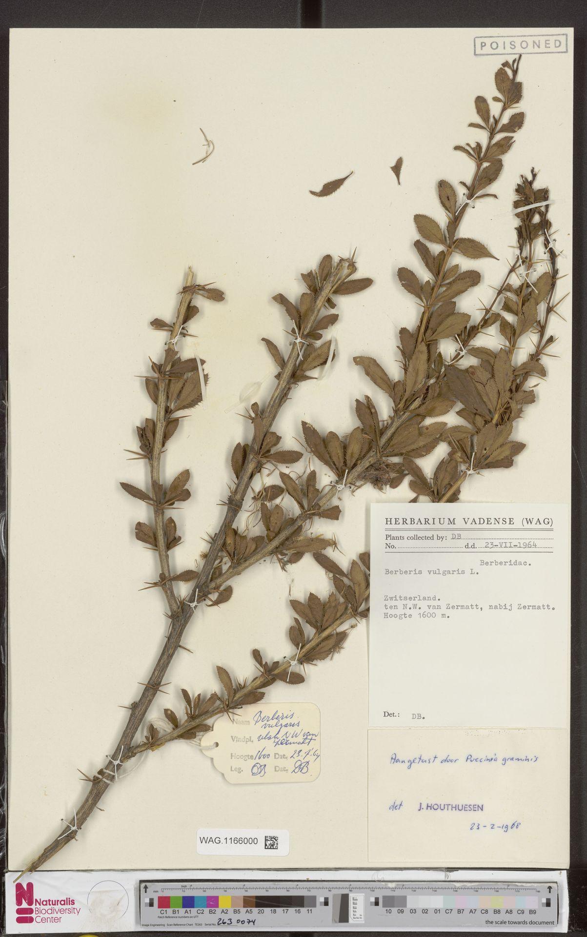 WAG.1166000 | Berberis vulgaris L.