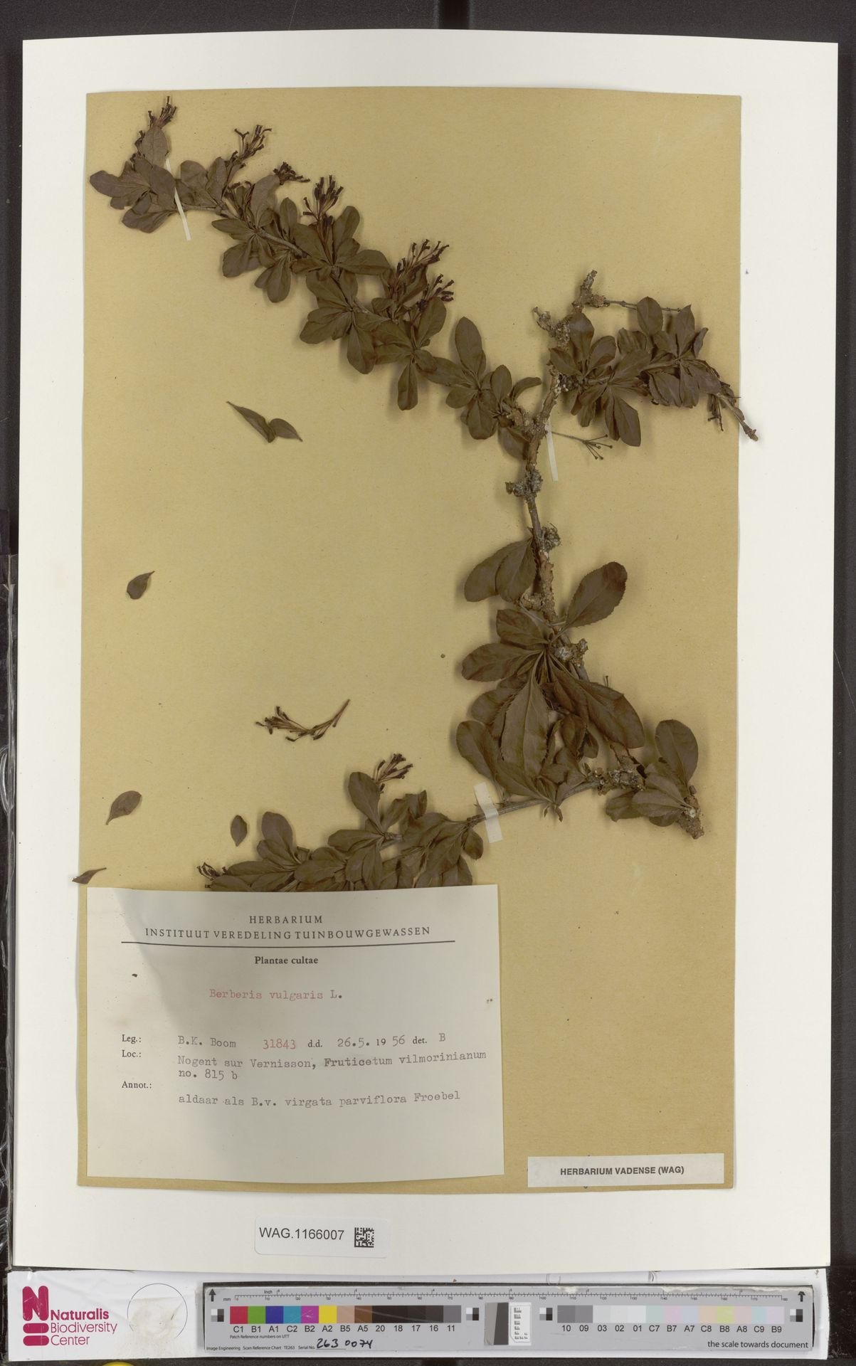WAG.1166007 | Berberis vulgaris L.