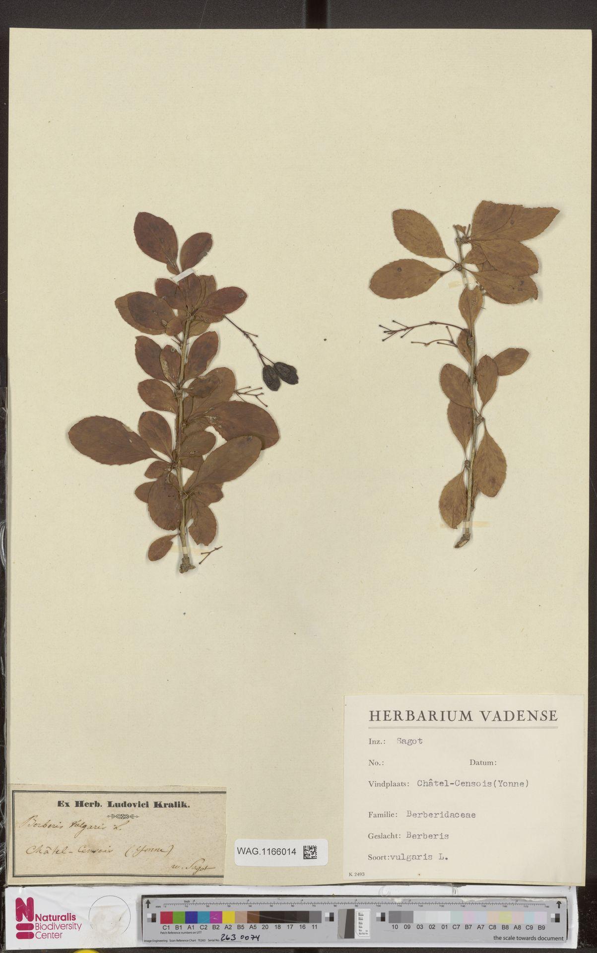 WAG.1166014 | Berberis vulgaris L.