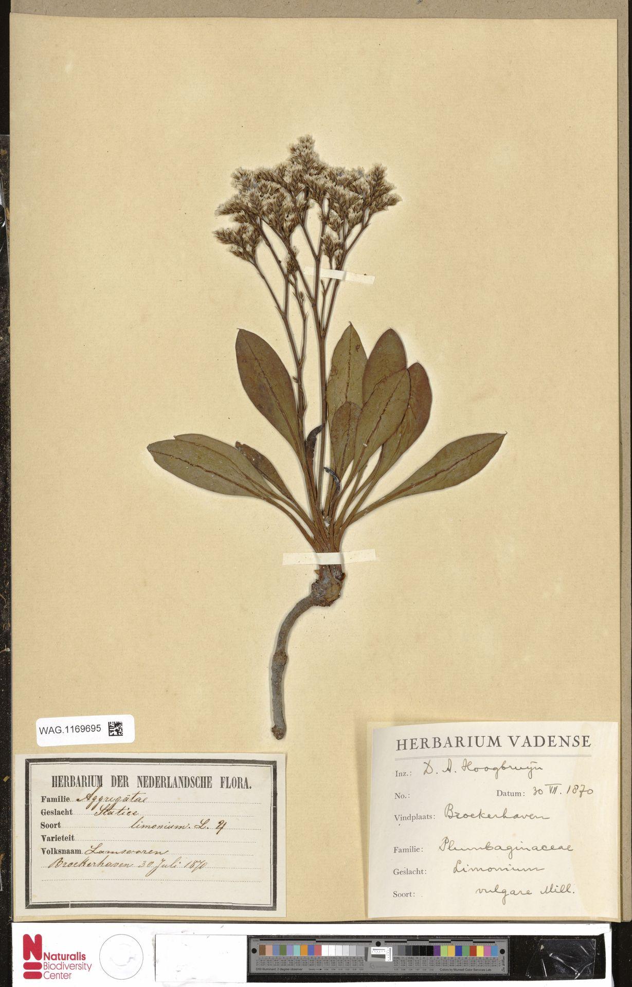 WAG.1169695 | Limonium vulgare Mill.