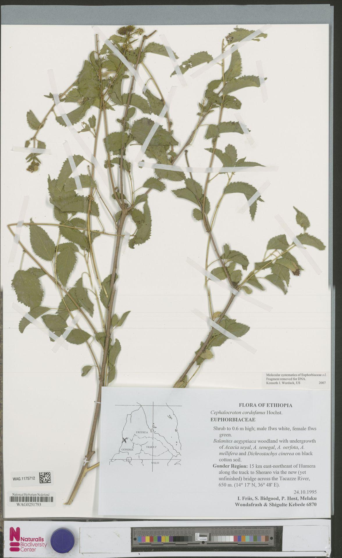 WAG.1175712 | Cephalocroton cordofanus Hochst.