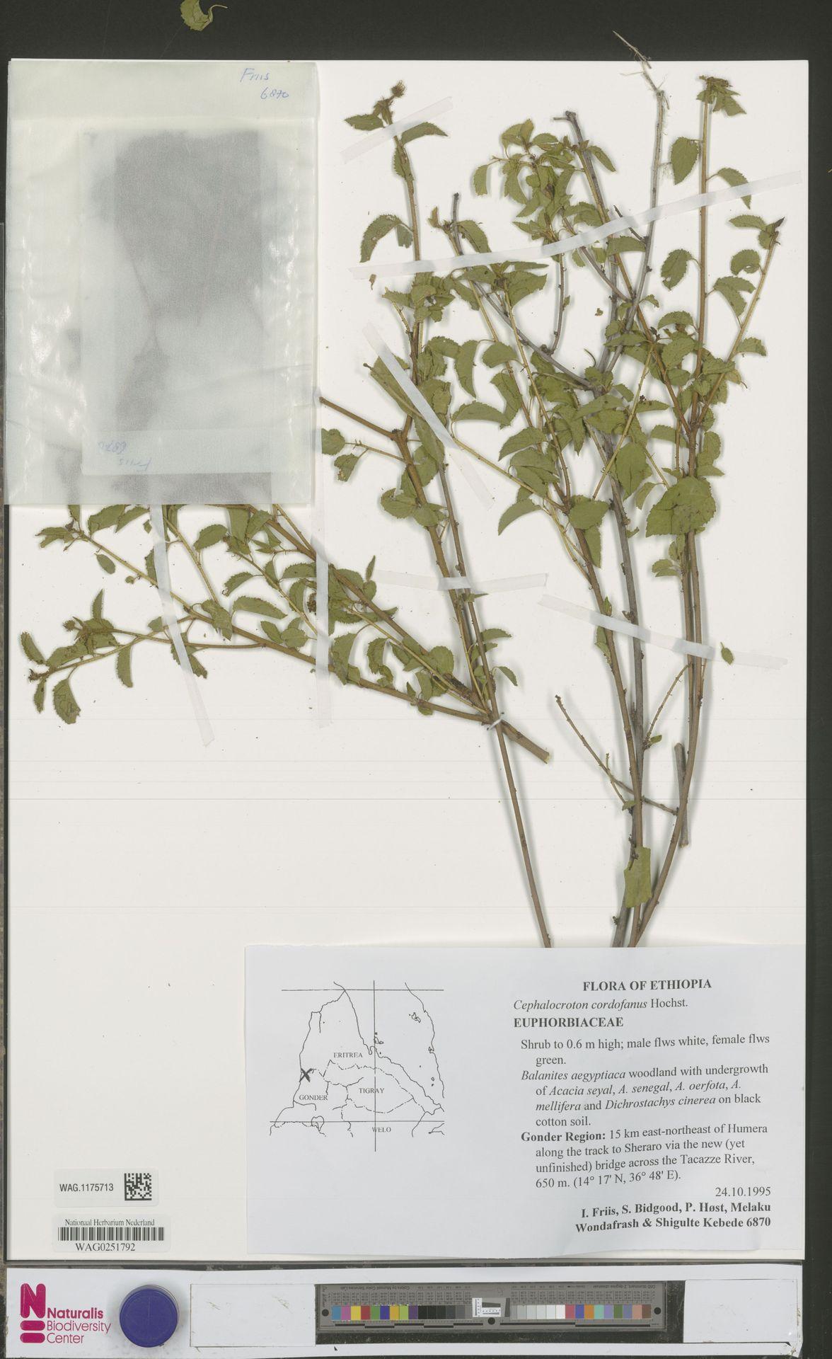 WAG.1175713 | Cephalocroton cordofanus Hochst.