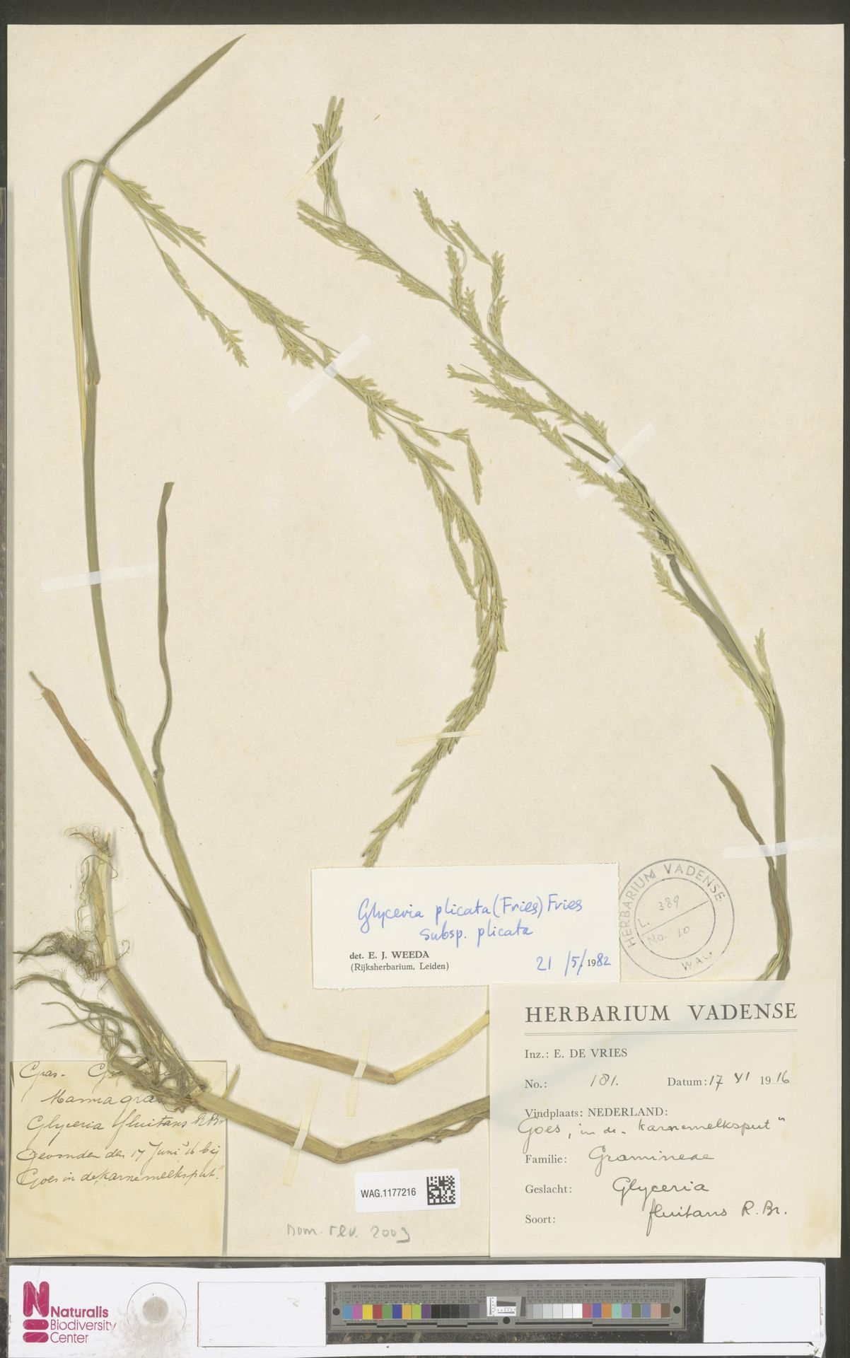 WAG.1177216 | Glyceria notata Chevall.