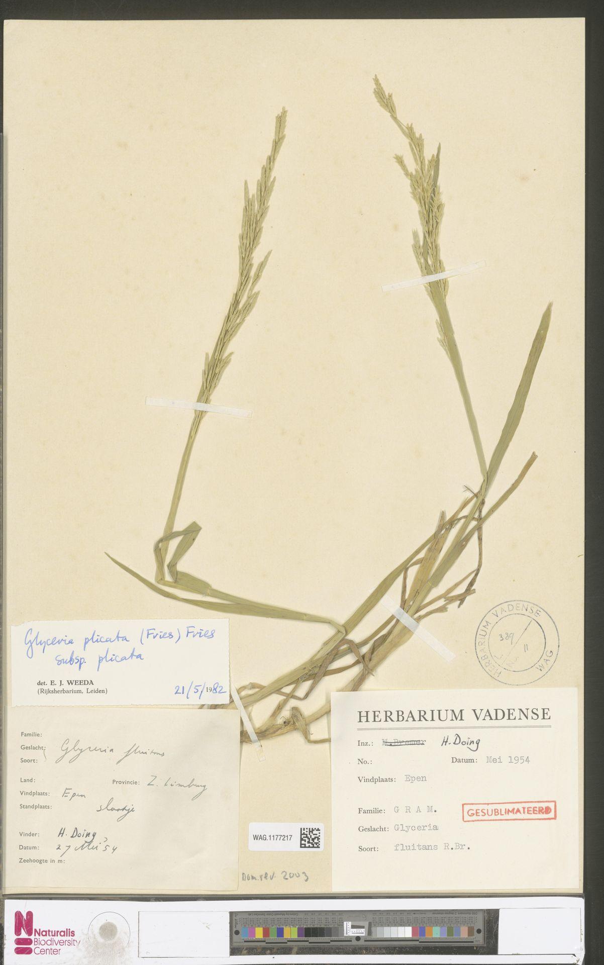 WAG.1177217 | Glyceria notata Chevall.
