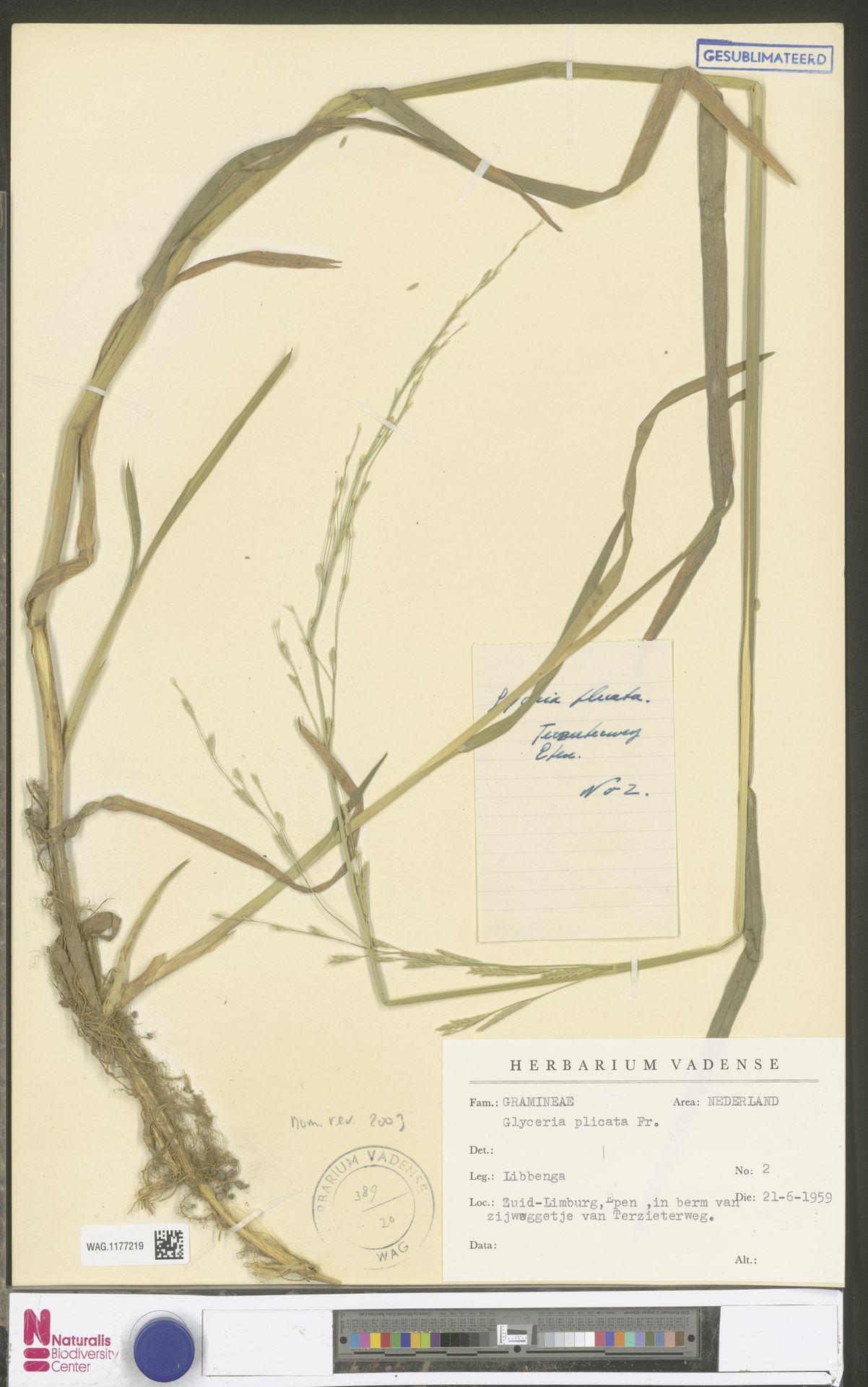 WAG.1177219 | Glyceria notata Chevall.
