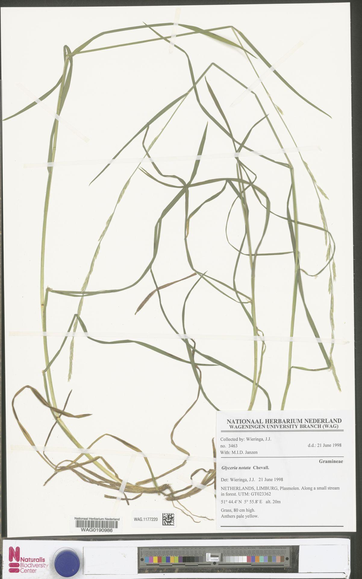 WAG.1177220 | Glyceria notata Chevall.