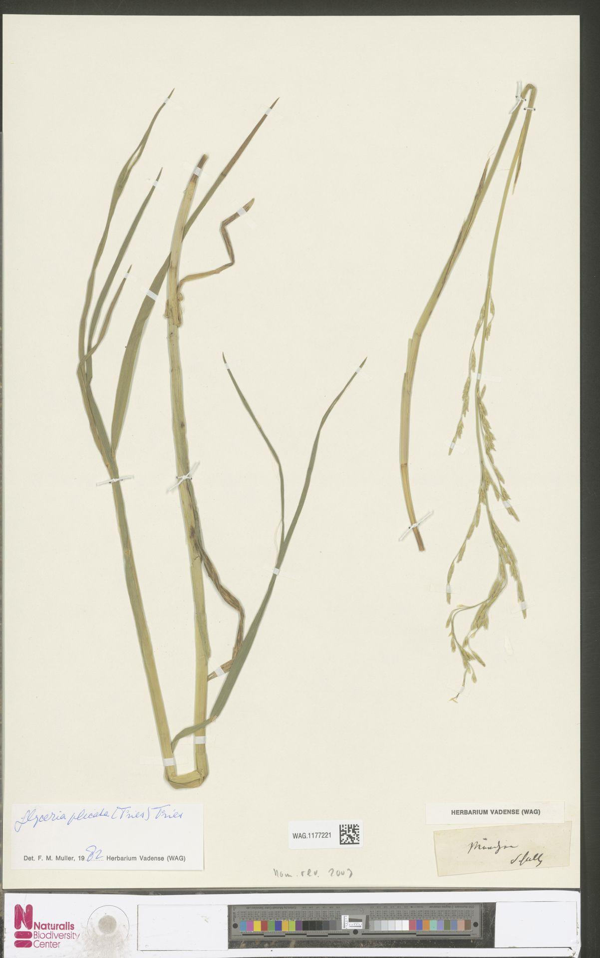 WAG.1177221 | Glyceria notata Chevall.
