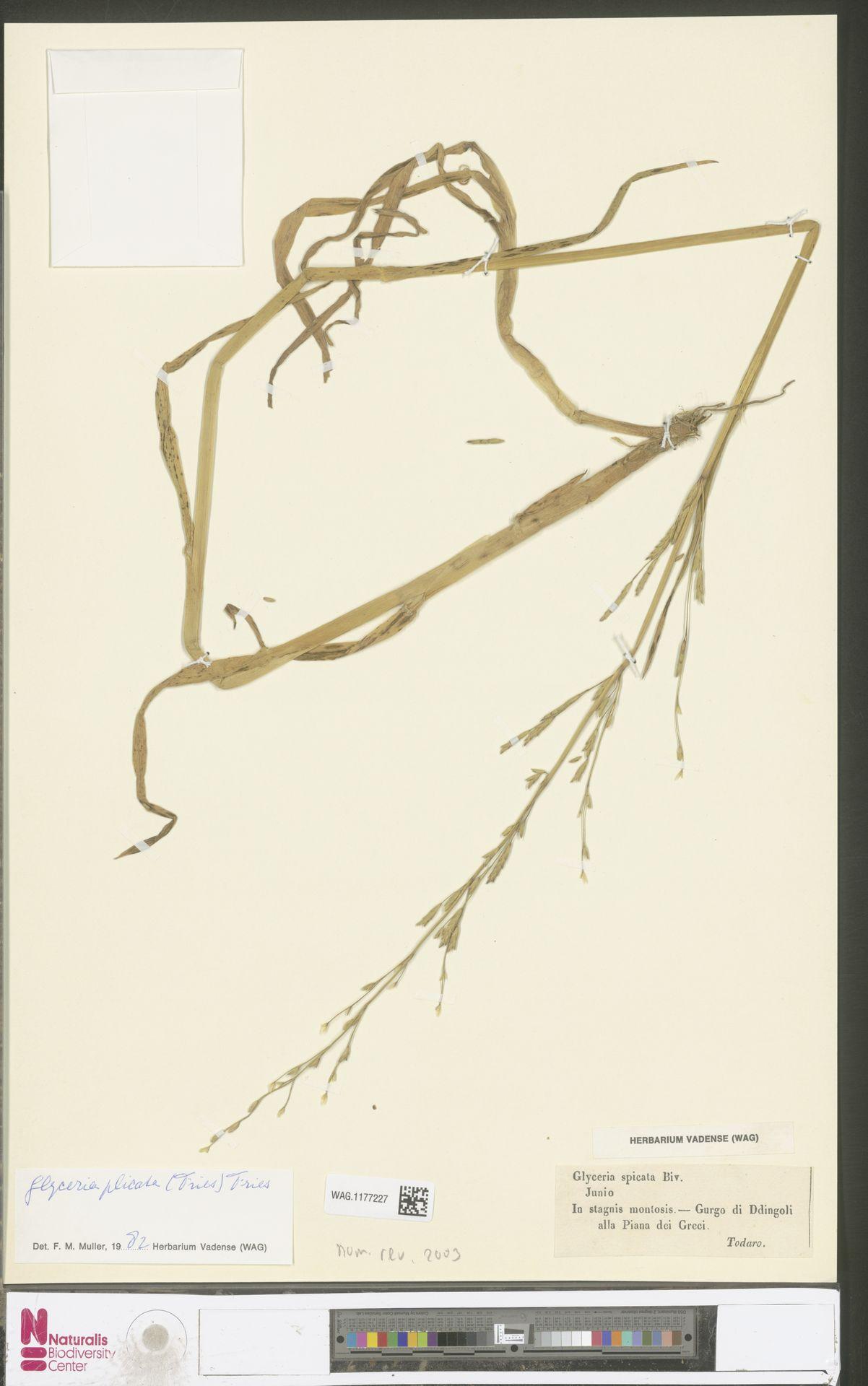 WAG.1177227 | Glyceria notata Chevall.
