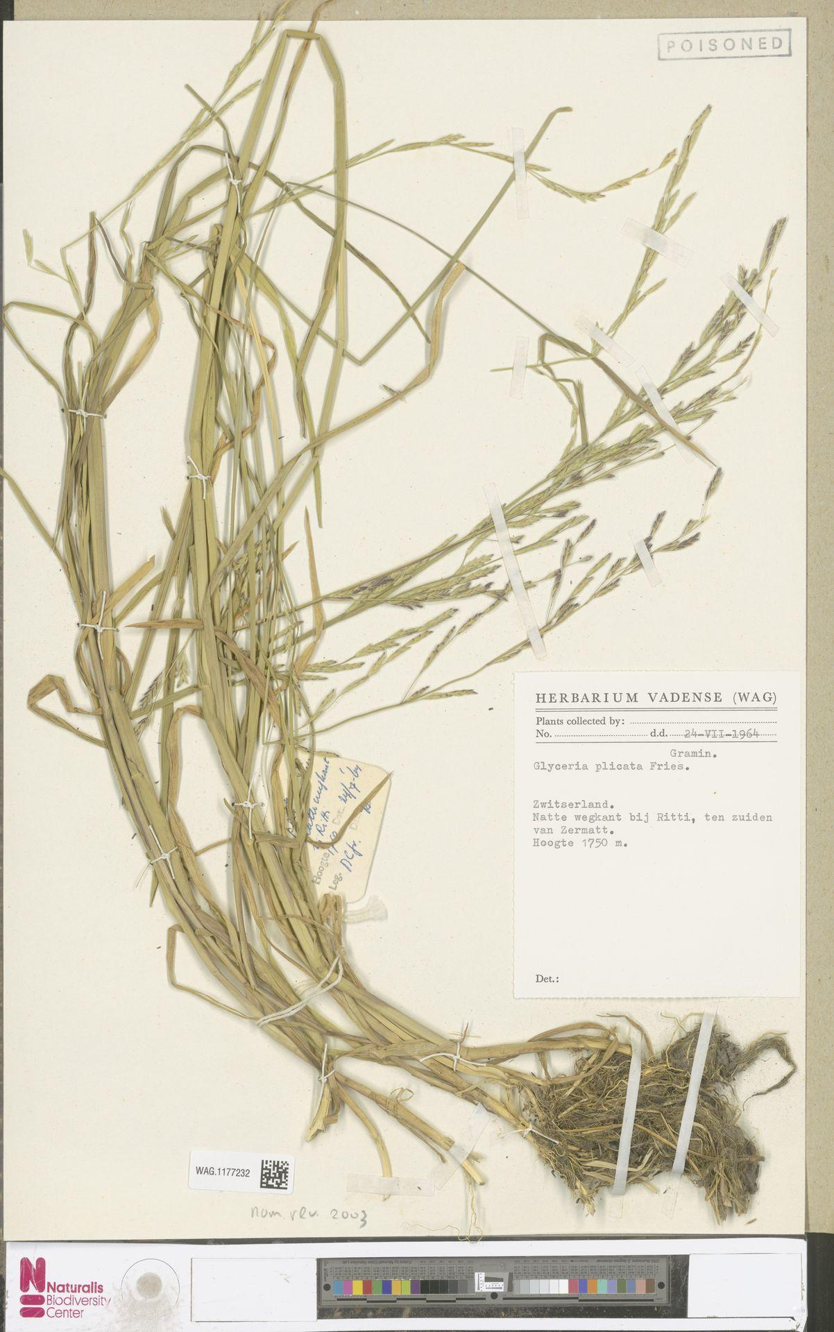 WAG.1177232 | Glyceria notata Chevall.