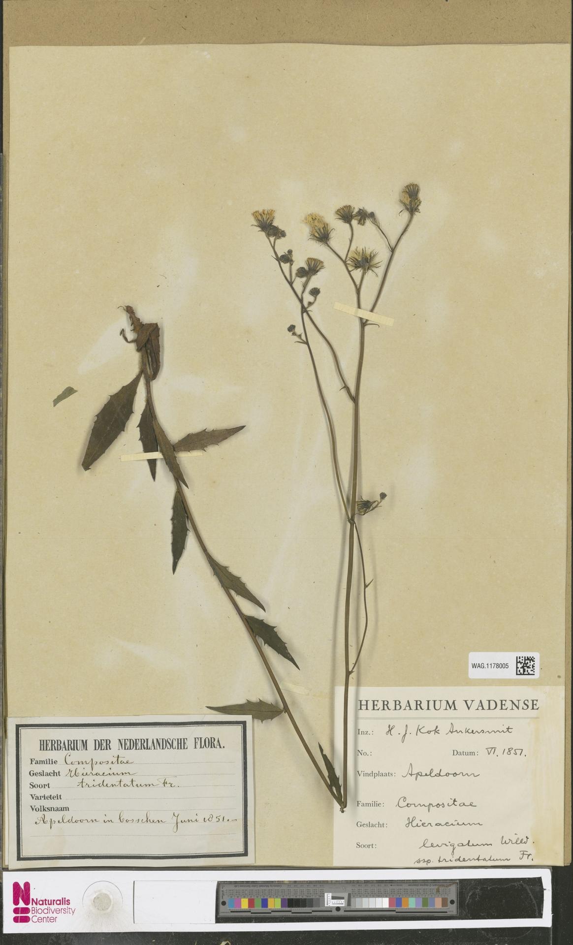 WAG.1178005 | Hieracium laevigatum subsp. tridentatum Zahn