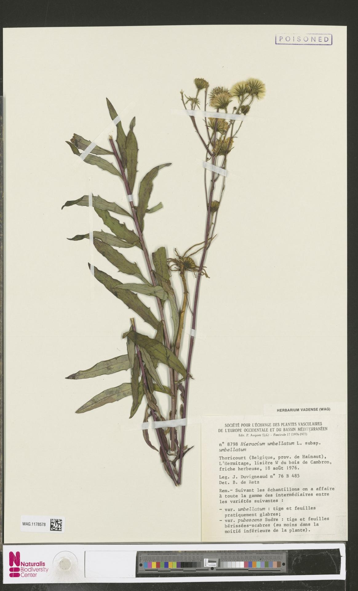 WAG.1178578 | Hieracium umbellatum subsp. umbellatum Zahn