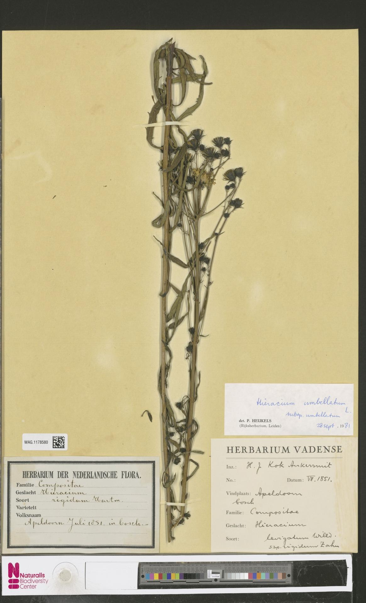 WAG.1178580 | Hieracium umbellatum subsp. umbellatum Zahn