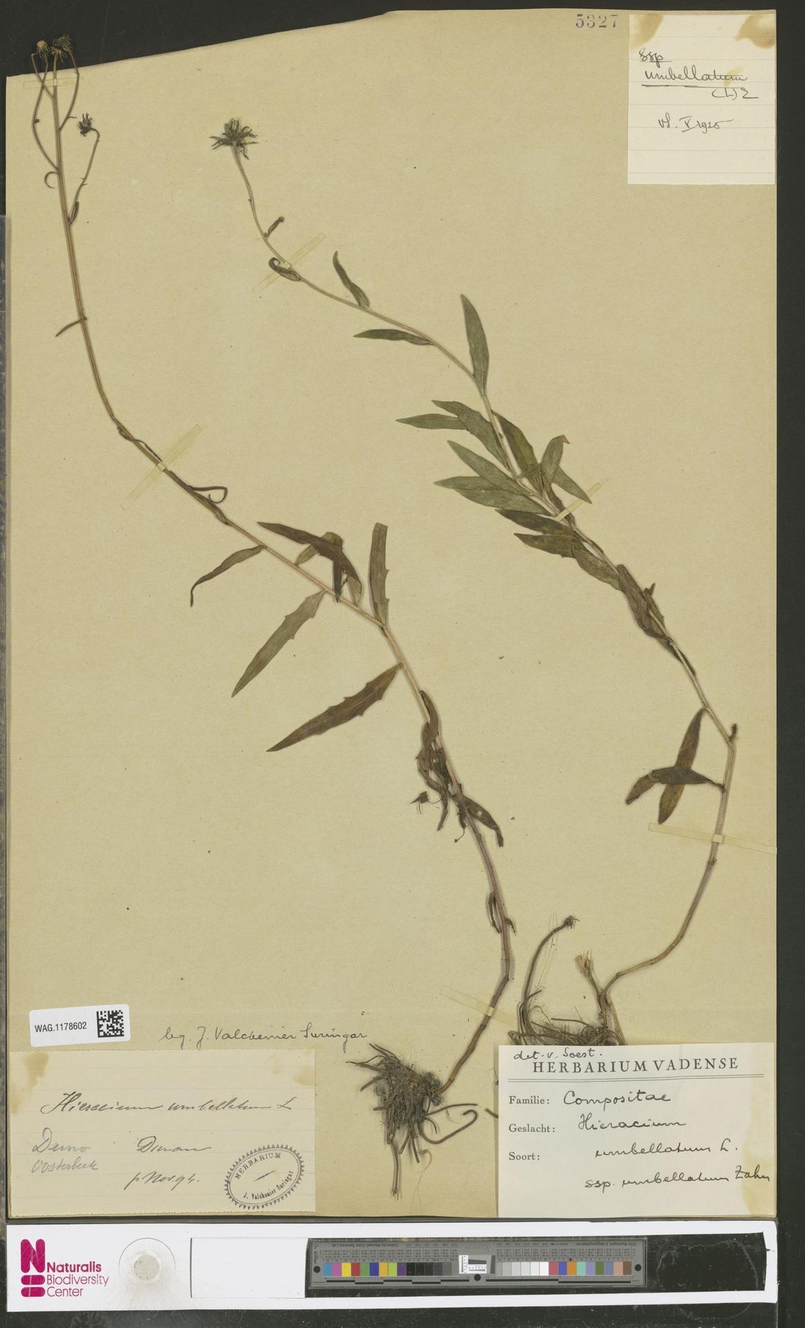 WAG.1178602 | Hieracium umbellatum subsp. umbellatum Zahn