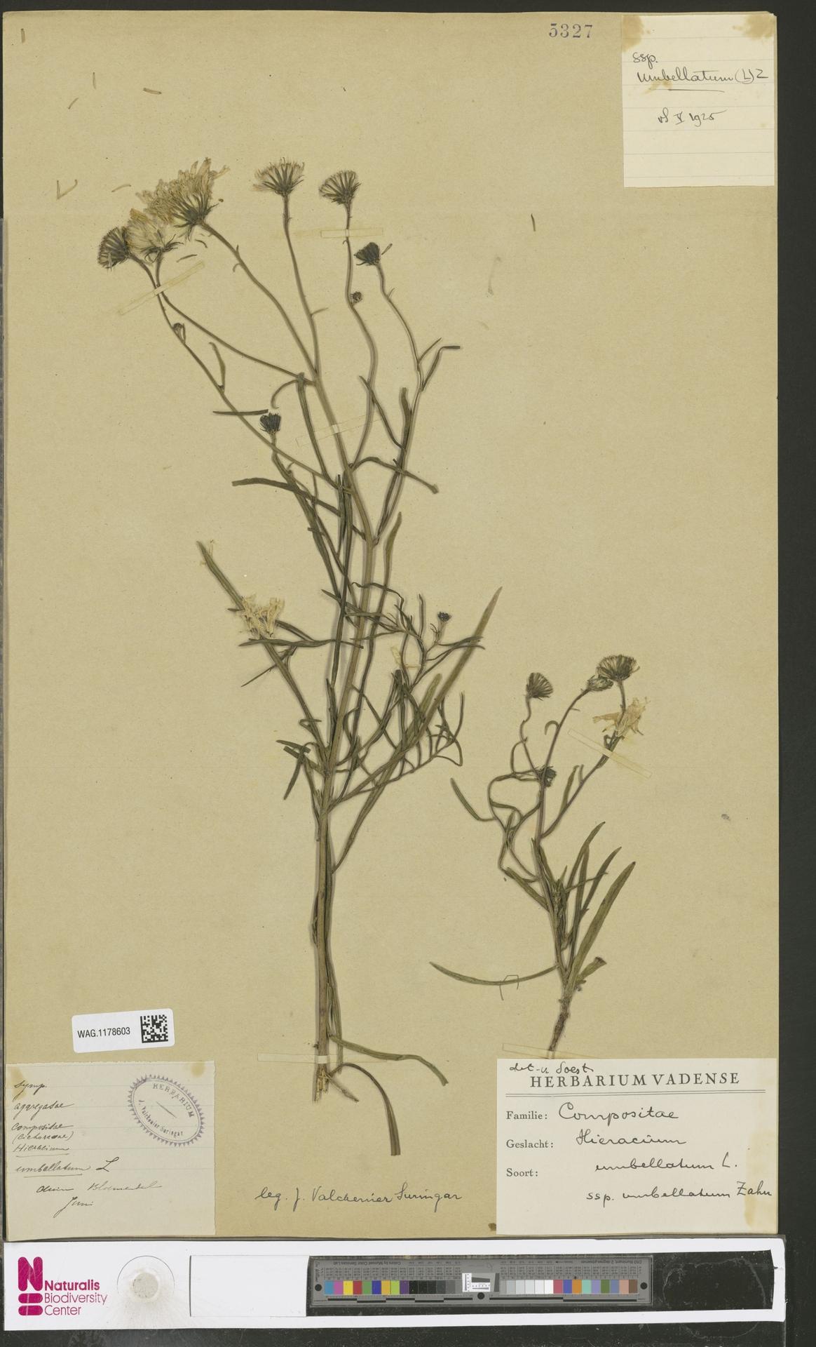 WAG.1178603 | Hieracium umbellatum subsp. umbellatum Zahn