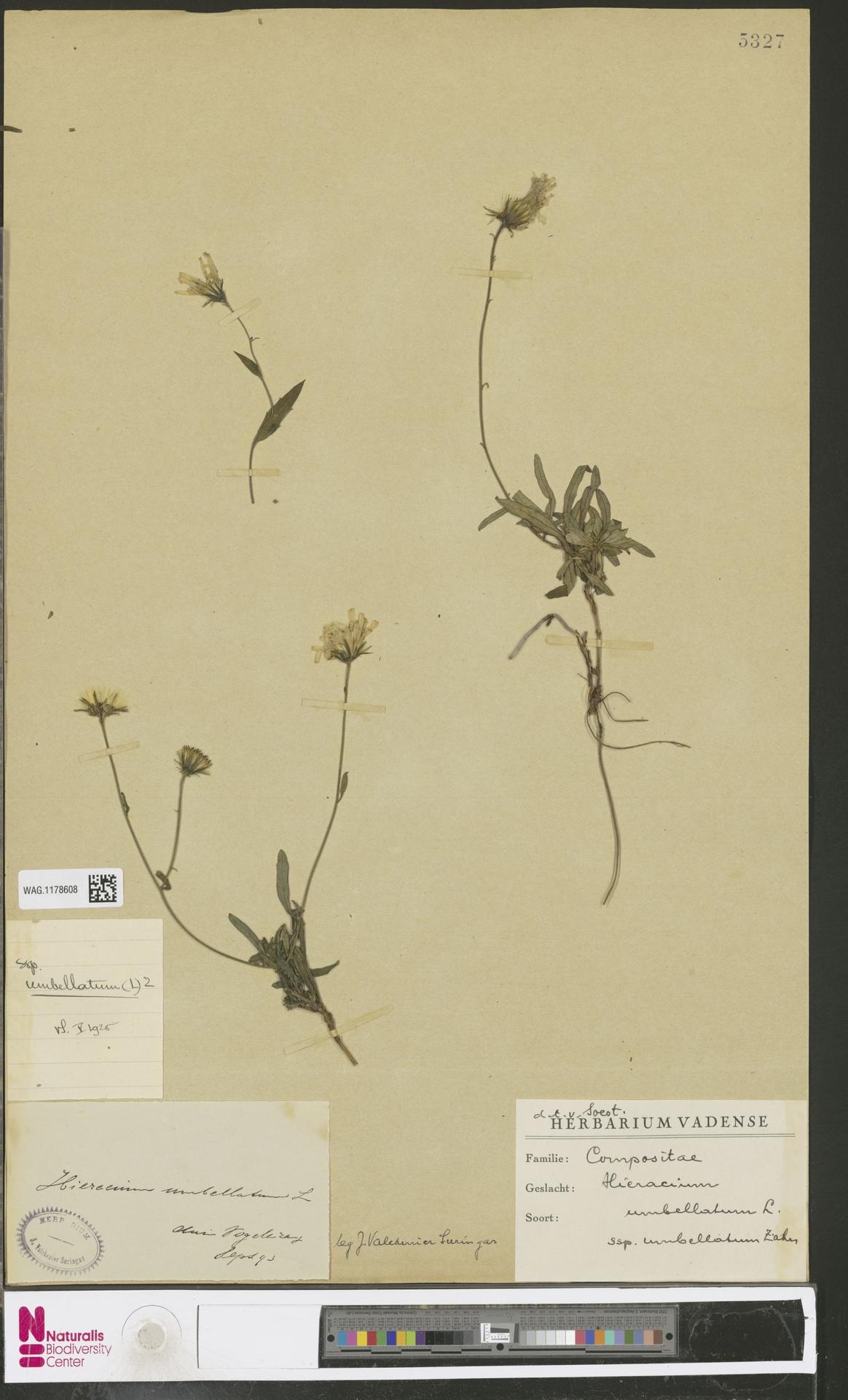 WAG.1178608 | Hieracium umbellatum subsp. umbellatum Zahn