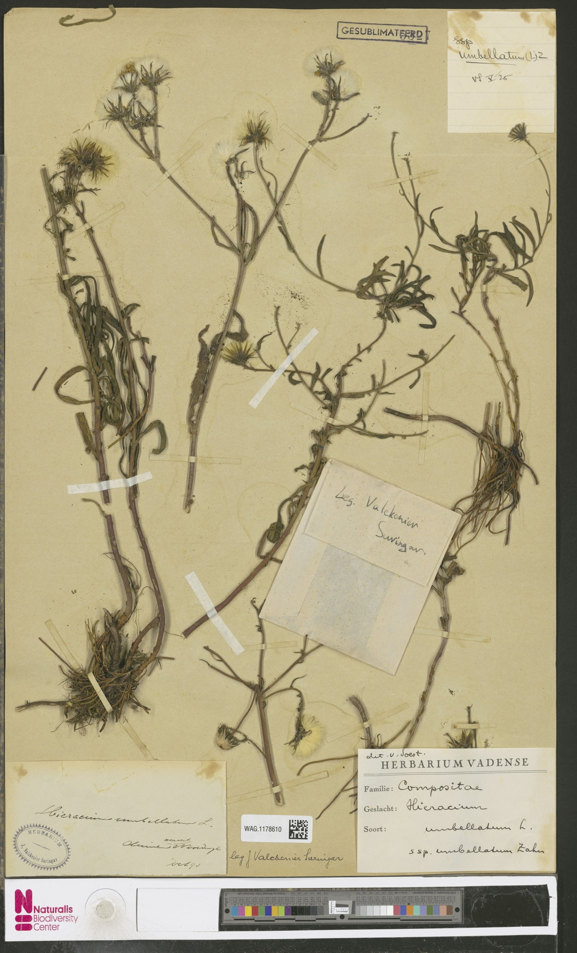 WAG.1178610 | Hieracium umbellatum subsp. umbellatum Zahn