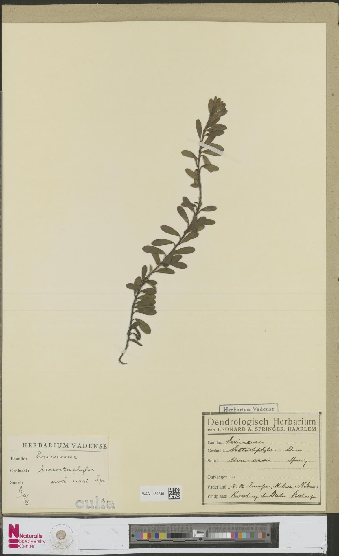WAG.1182246 | Arctostaphylos uva-ursi (L.) Spreng.