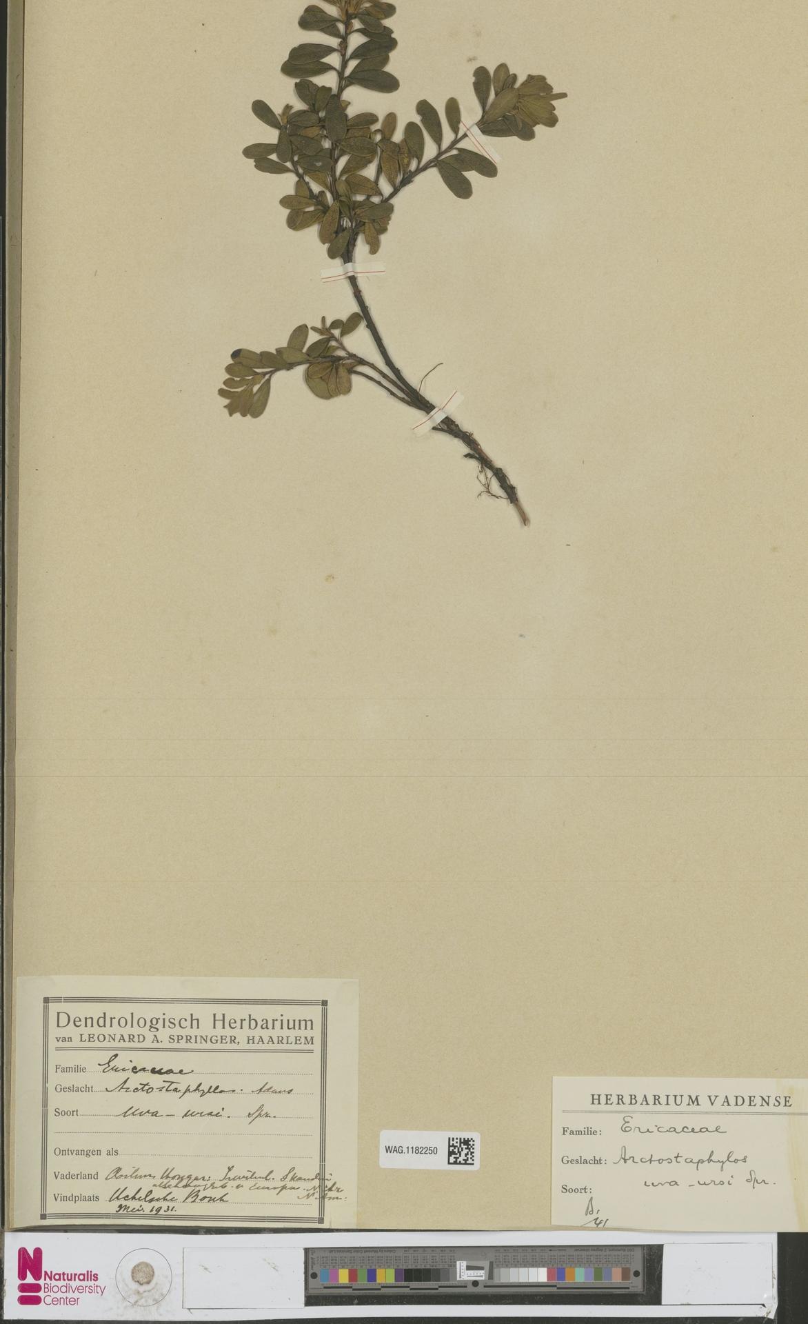 WAG.1182250 | Arctostaphylos uva-ursi (L.) Spreng.