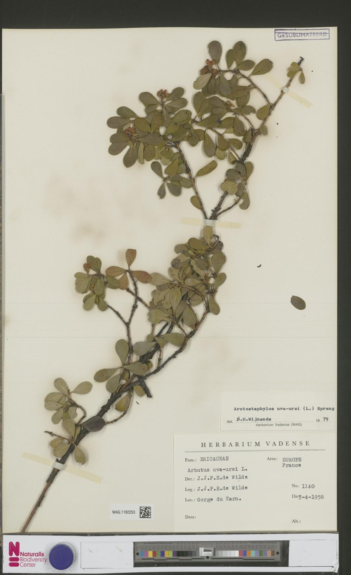WAG.1182253 | Arctostaphylos uva-ursi (L.) Spreng.
