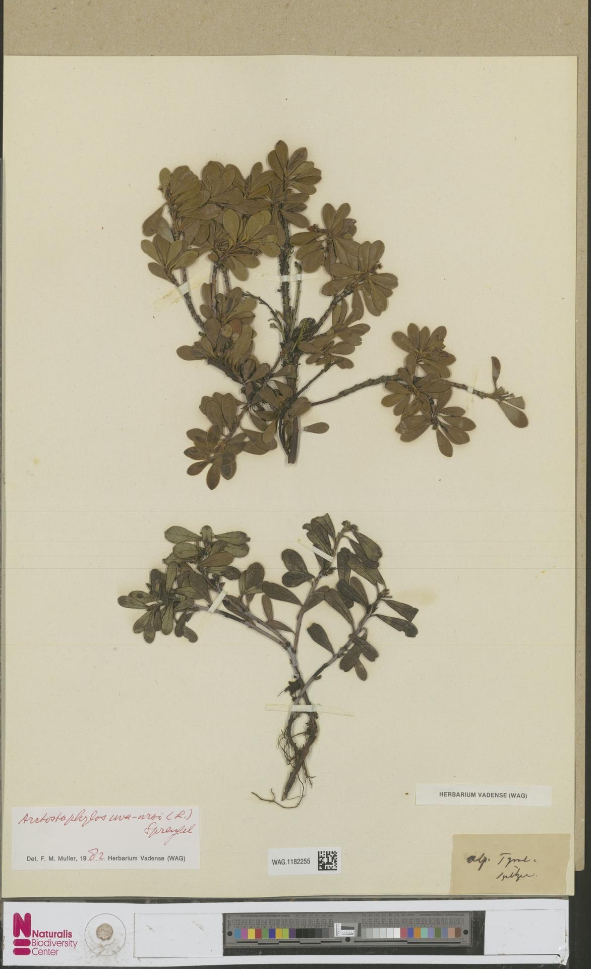WAG.1182255 | Arctostaphylos uva-ursi (L.) Spreng.