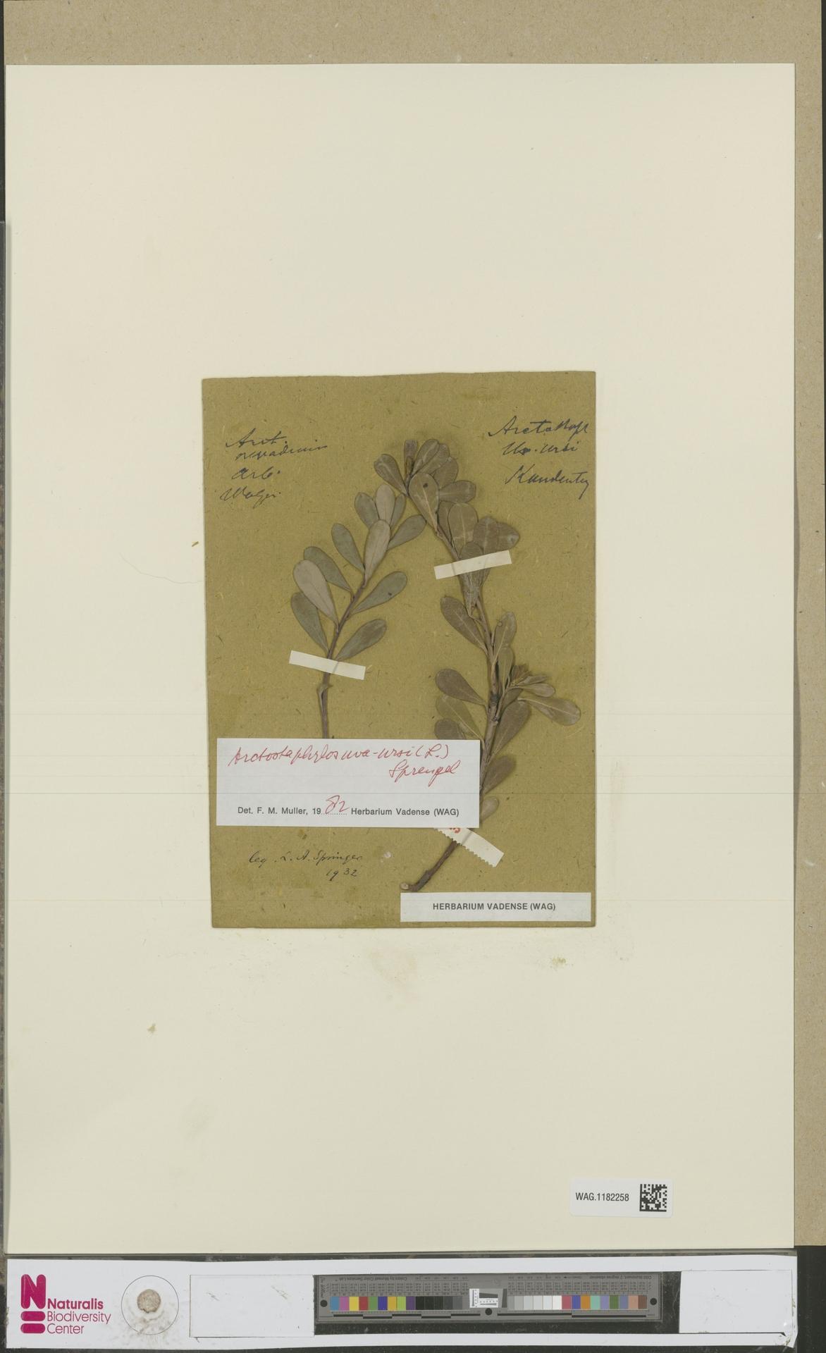 WAG.1182258 | Arctostaphylos uva-ursi (L.) Spreng.