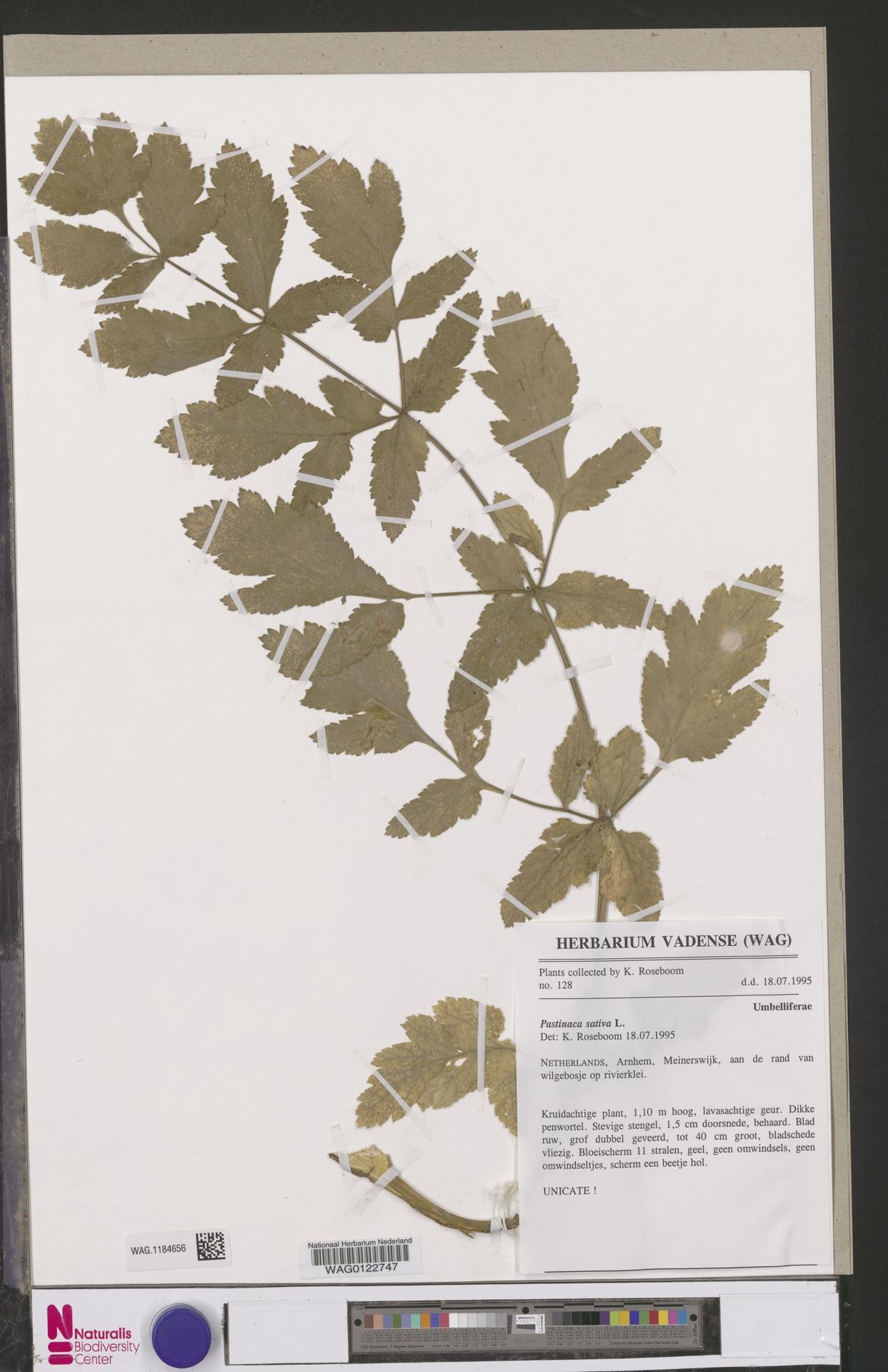 WAG.1184656 | Pastinaca sativa L.