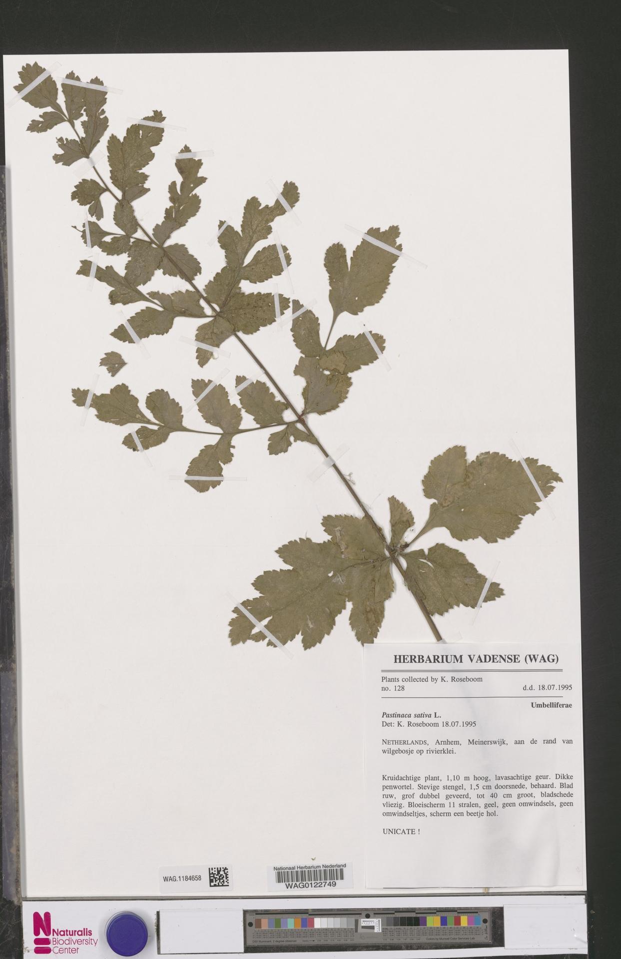 WAG.1184658 | Pastinaca sativa L.
